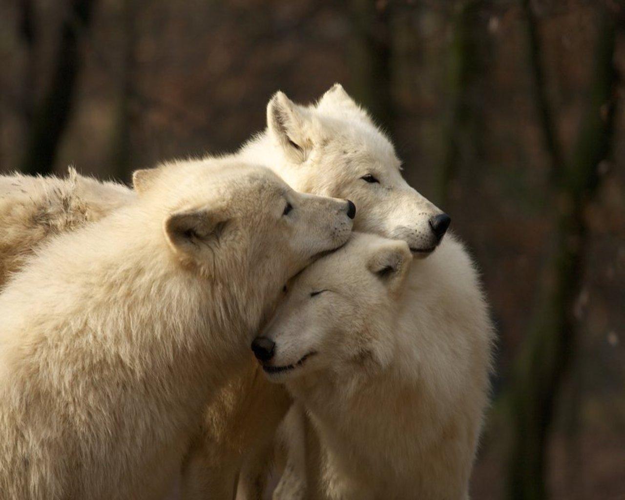 видео, фото животных пары волков и львов ксения вместе мамой