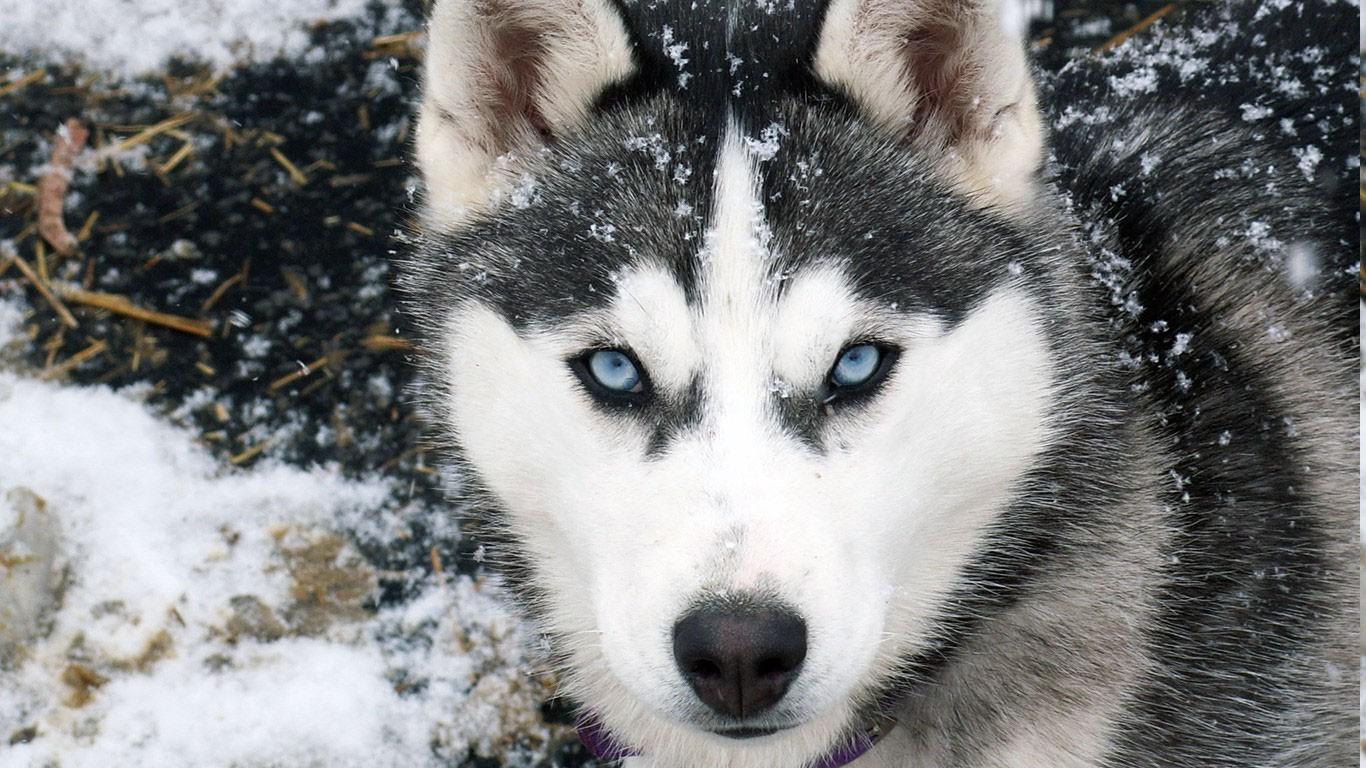 1366x768 Px Animals Dog Snow