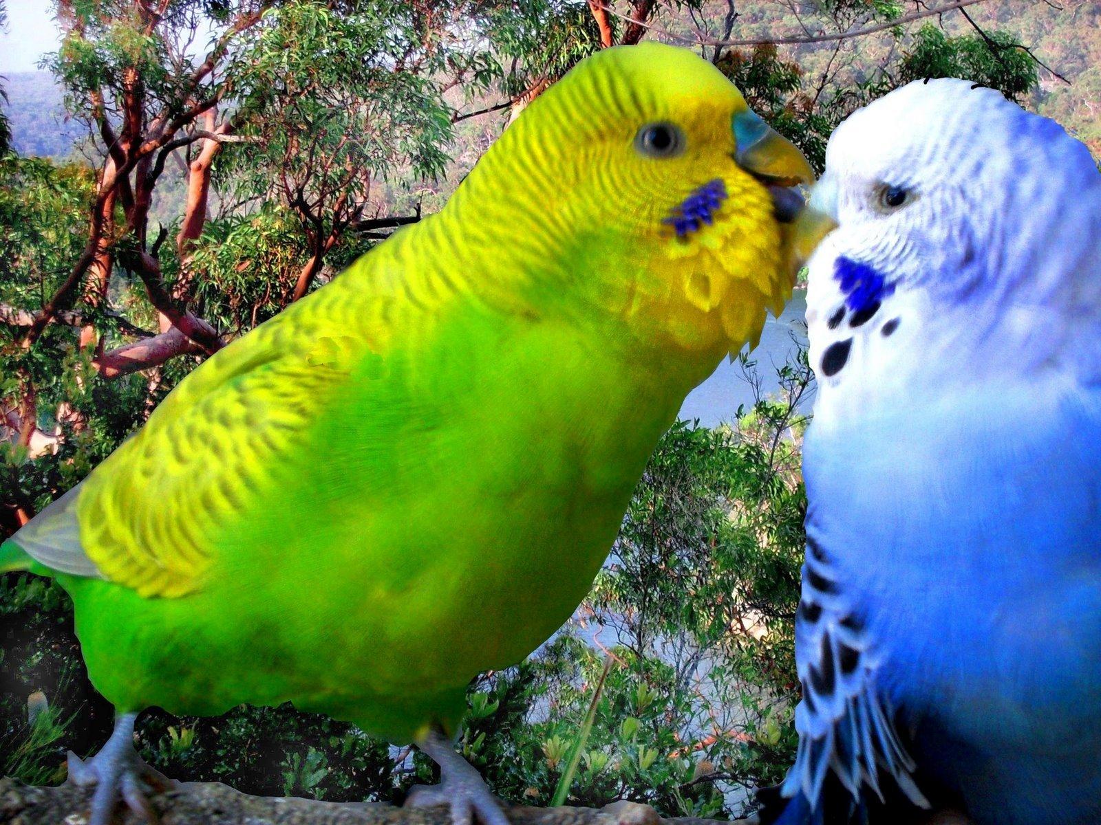шерсти фото волнистых попугайчиков самцов год телеведущая