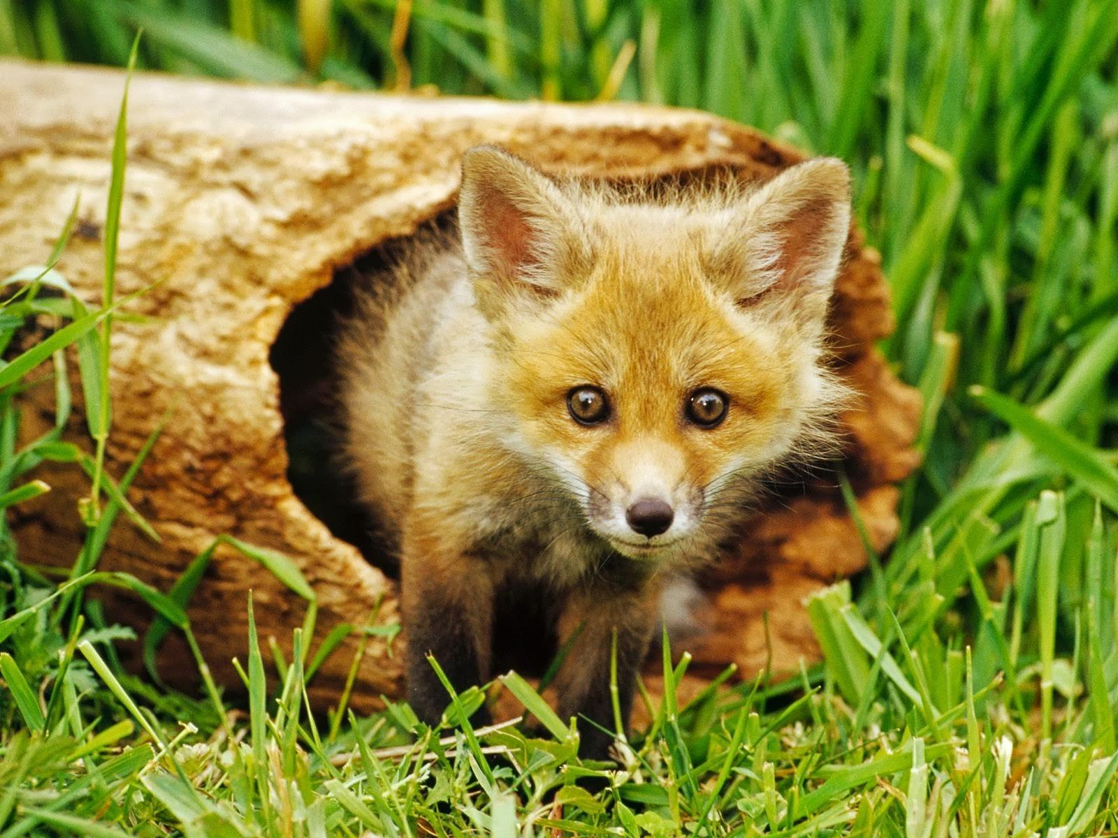 Wallpaper 1600x1200 Px Baby Animals Fox Nature 1600x1200 Goodfon 750303 Hd Wallpapers Wallhere