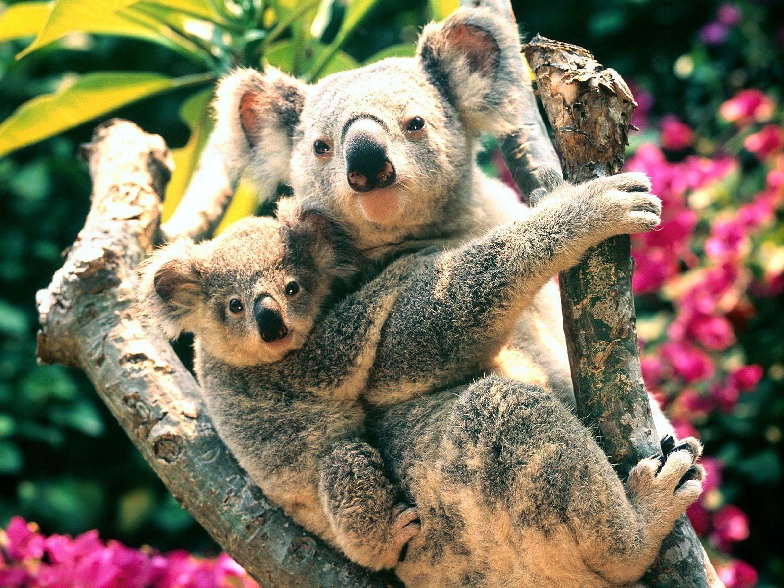 Fond D Ecran 1600x1200 Px Des Bebes Animaux Koalas La