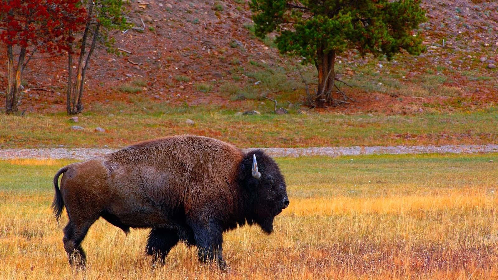 Beautiful Bison Wallpaper - 1600x900-px-animals-bison-buffalo-751459  Image_932135.jpg