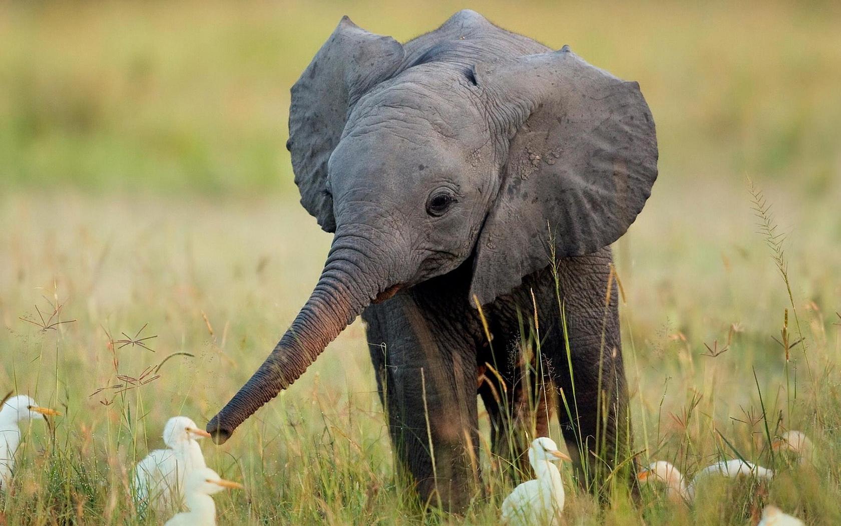 Fond D Ecran 1680x1050 Px Bebe Elephant 1680x1050