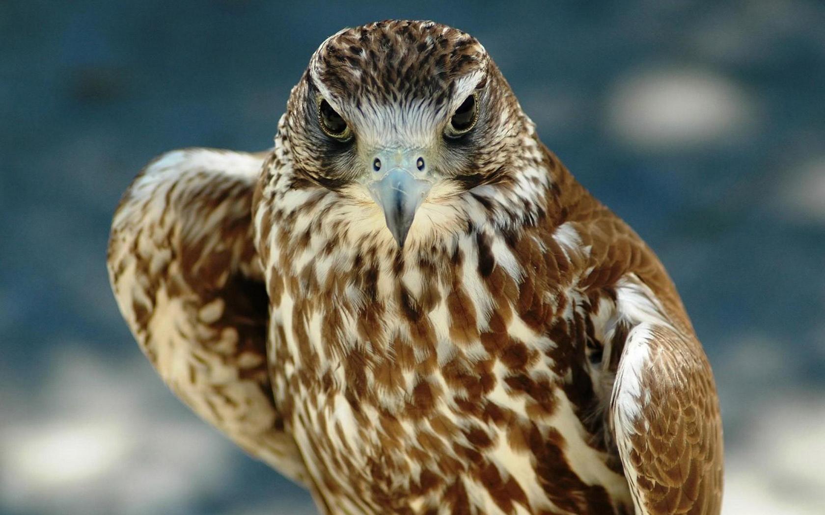 Сокол картинки фото птица