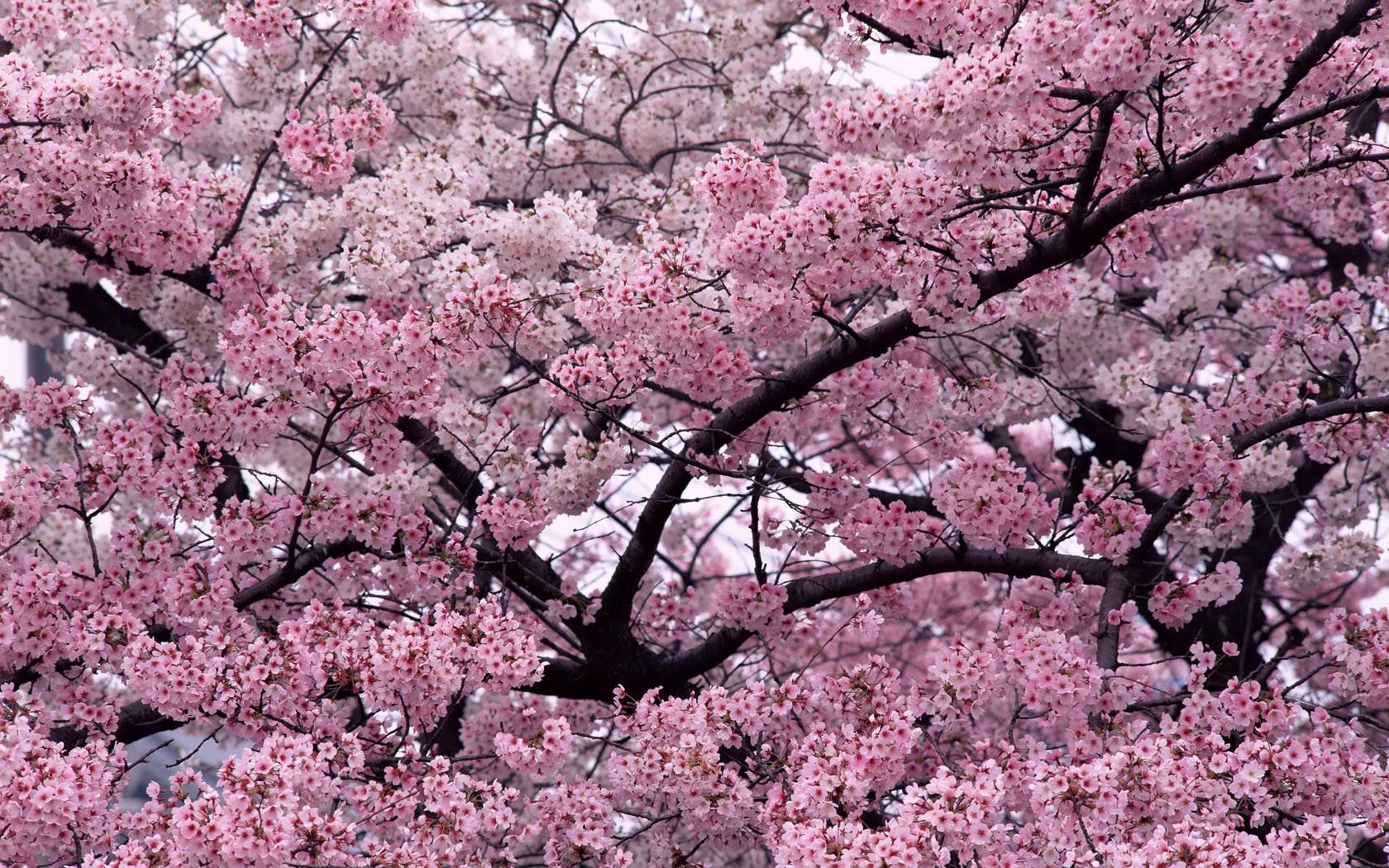 wallpaper 1680x1050 px cherry blossom flowers nature
