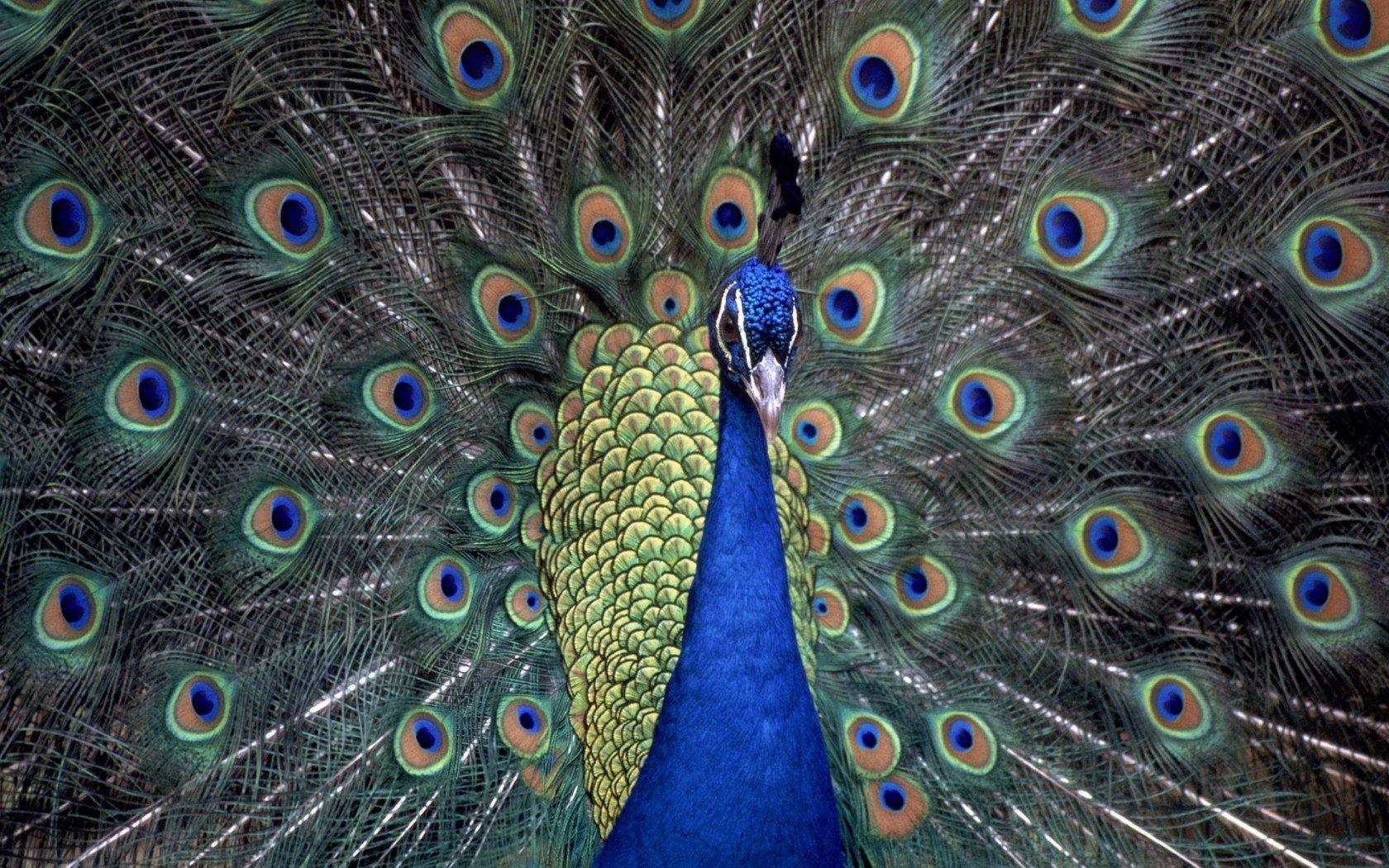 99 Koleksi Gambar Burung Merak Merah HD