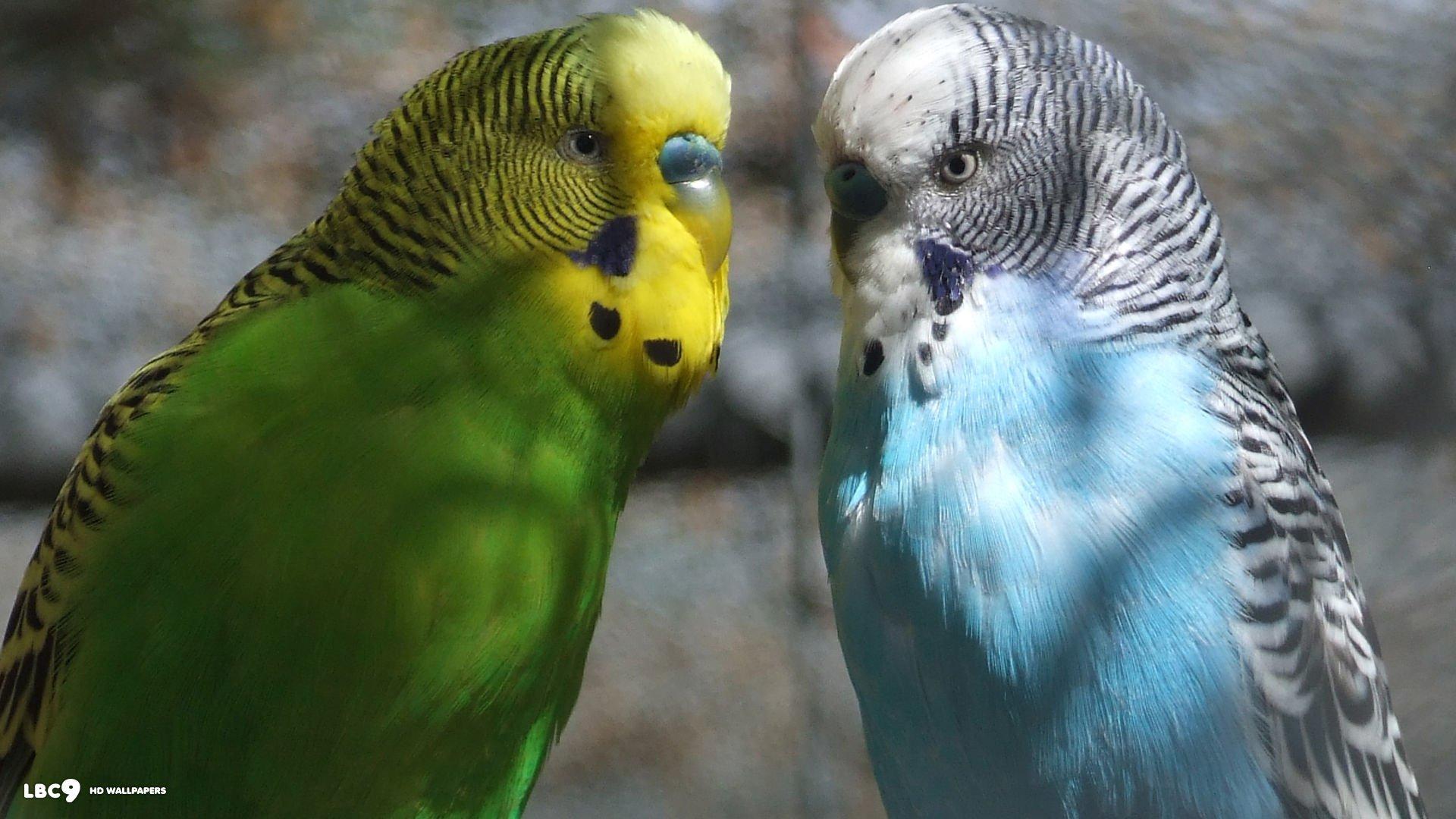 могут быть обои на рабочий стол с волнистыми попугаями его словам, необходимо