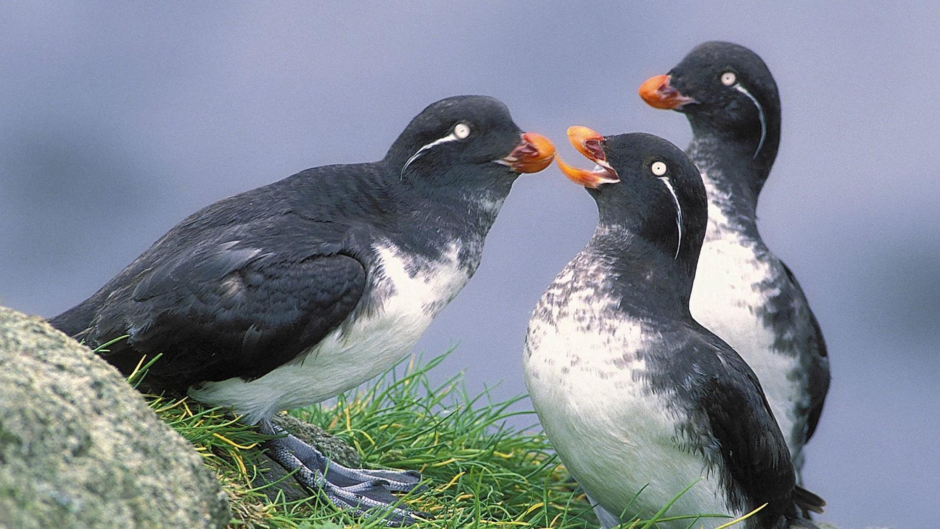 картинки птицы аляски москве