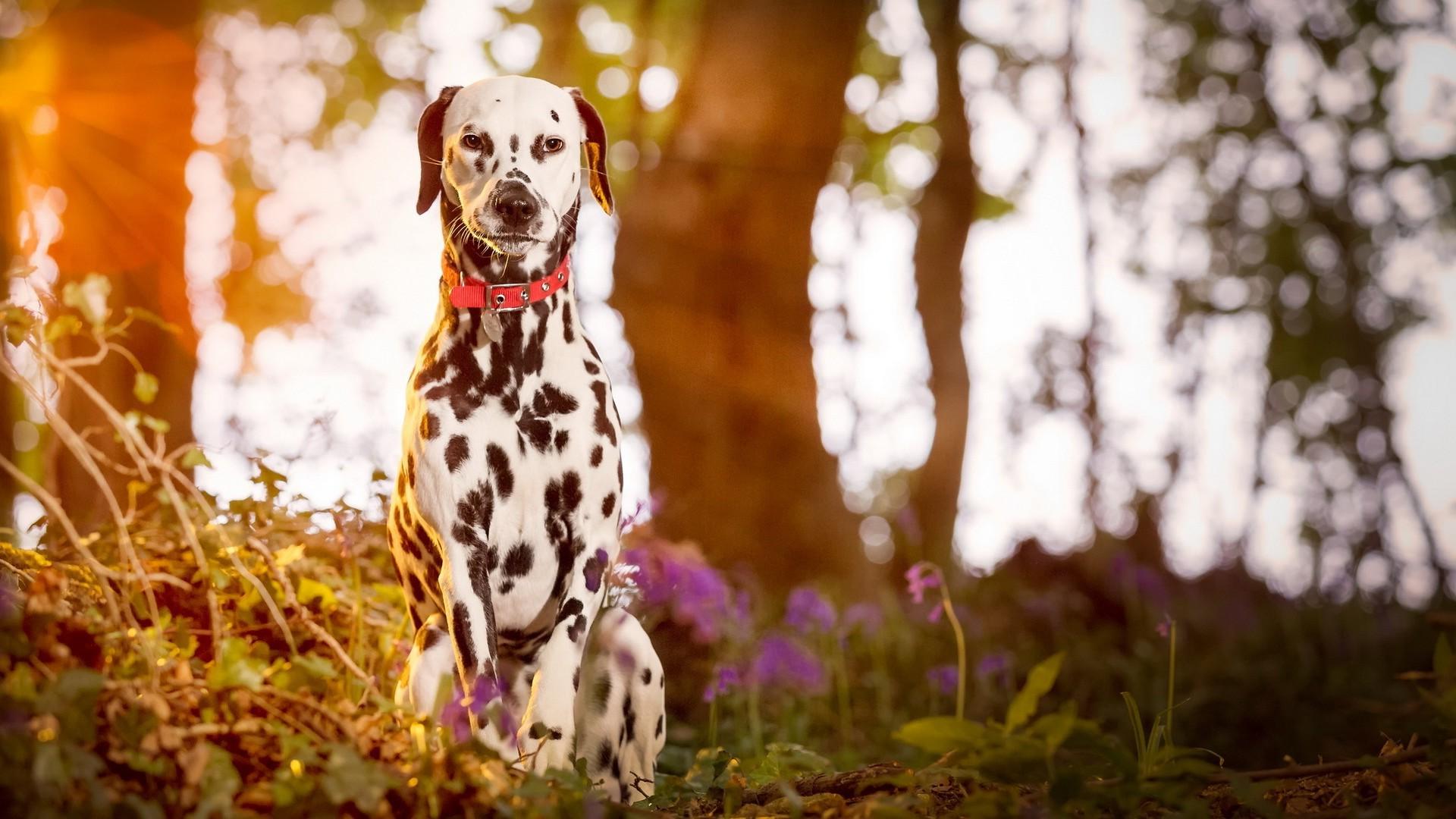 1920x1080 Px Animals Dalmatian Depth Of Field Dog Sunlight