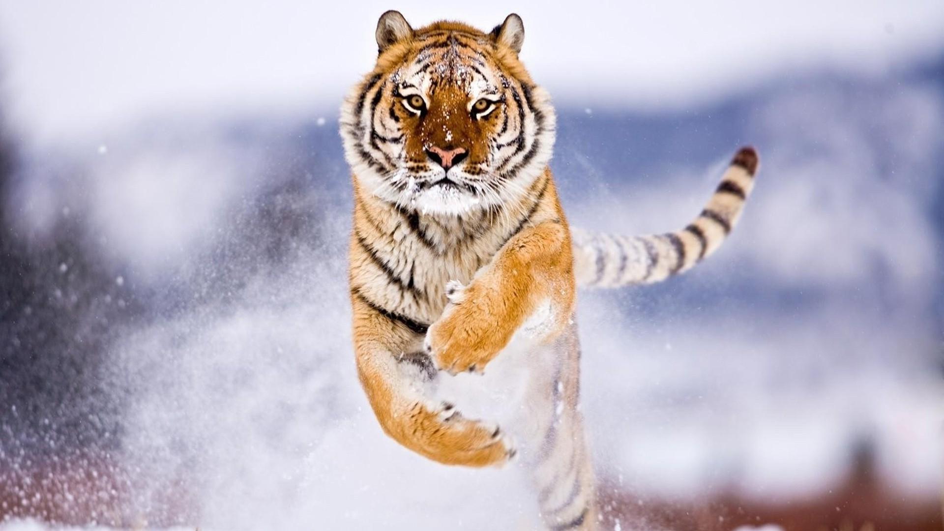 Wallpaper 1920x1080 Px Animals Attack Snow Tiger 1920x1080