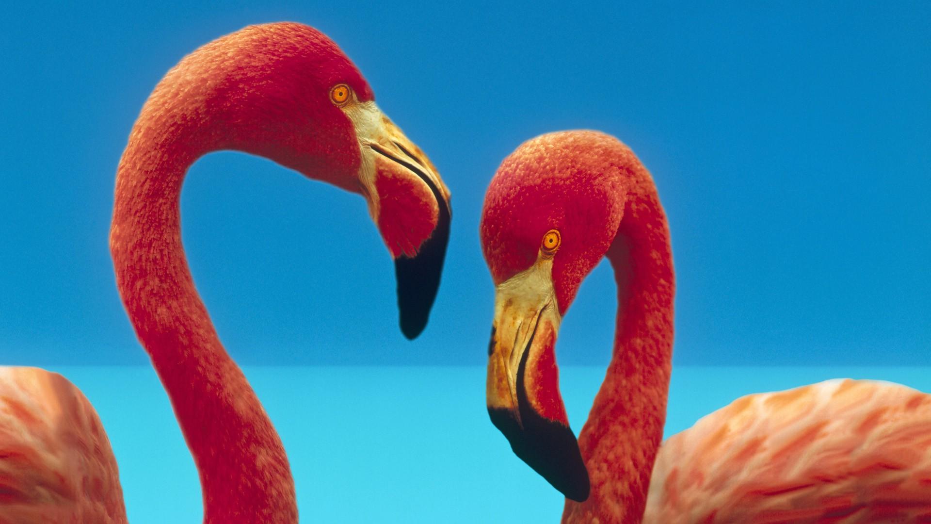 Wallpaper 1920x1080 Px Hewan Burung Burung Flamingo 1920x1080