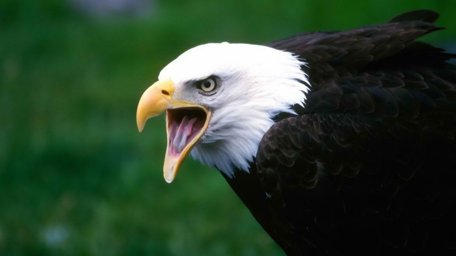 картинки серого орла оттенок ванили гармонично