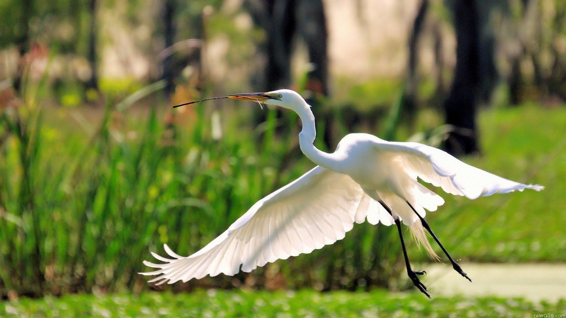 Wallpaper 1920x1080 Px Birds Egret Egrets Flying Great