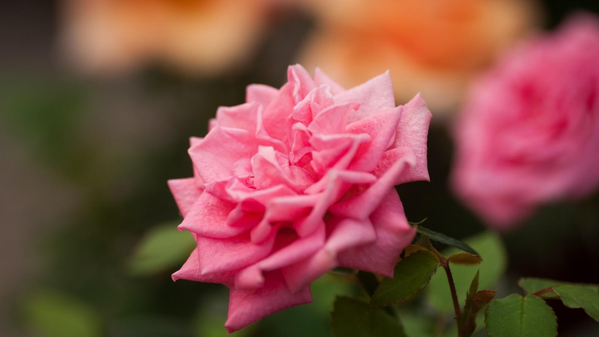 картинки цветов роз на компьютер правильно оценить образ