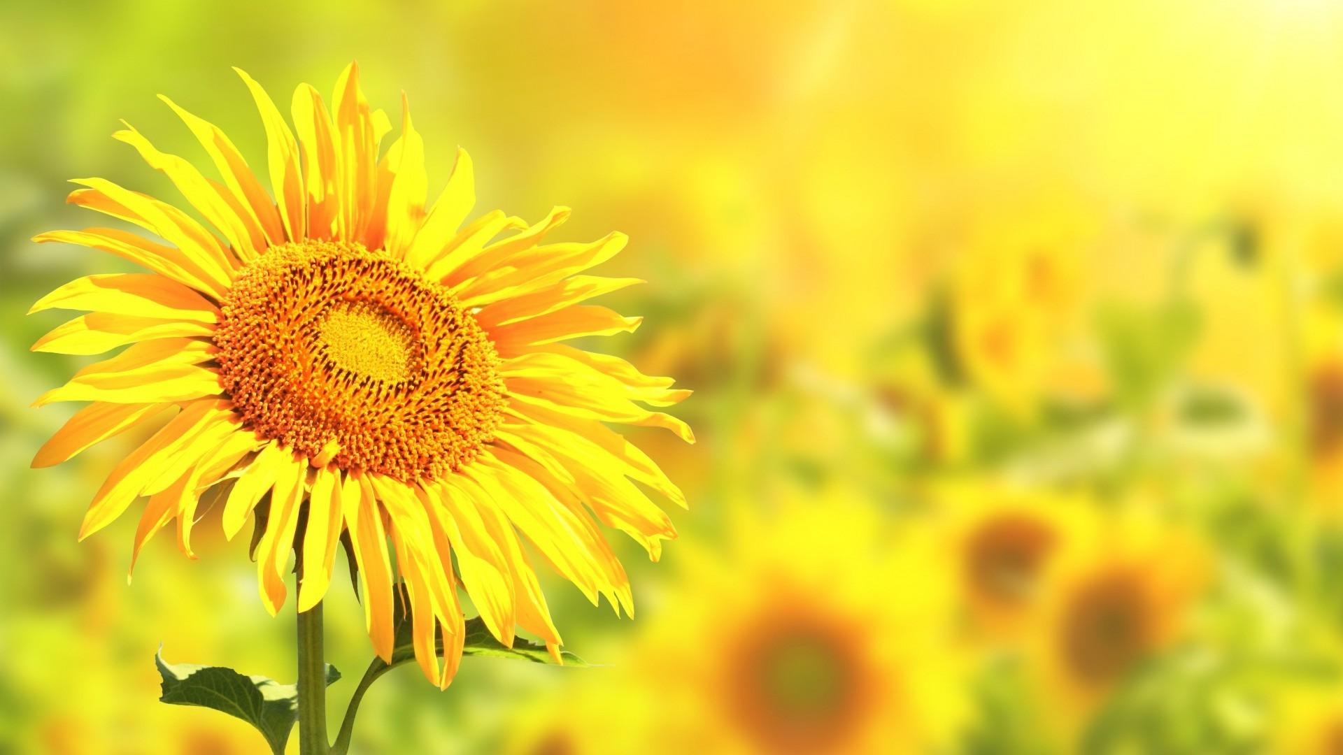 Wallpaper : 1920x1080 px, flowers, nature, sunflowers ...