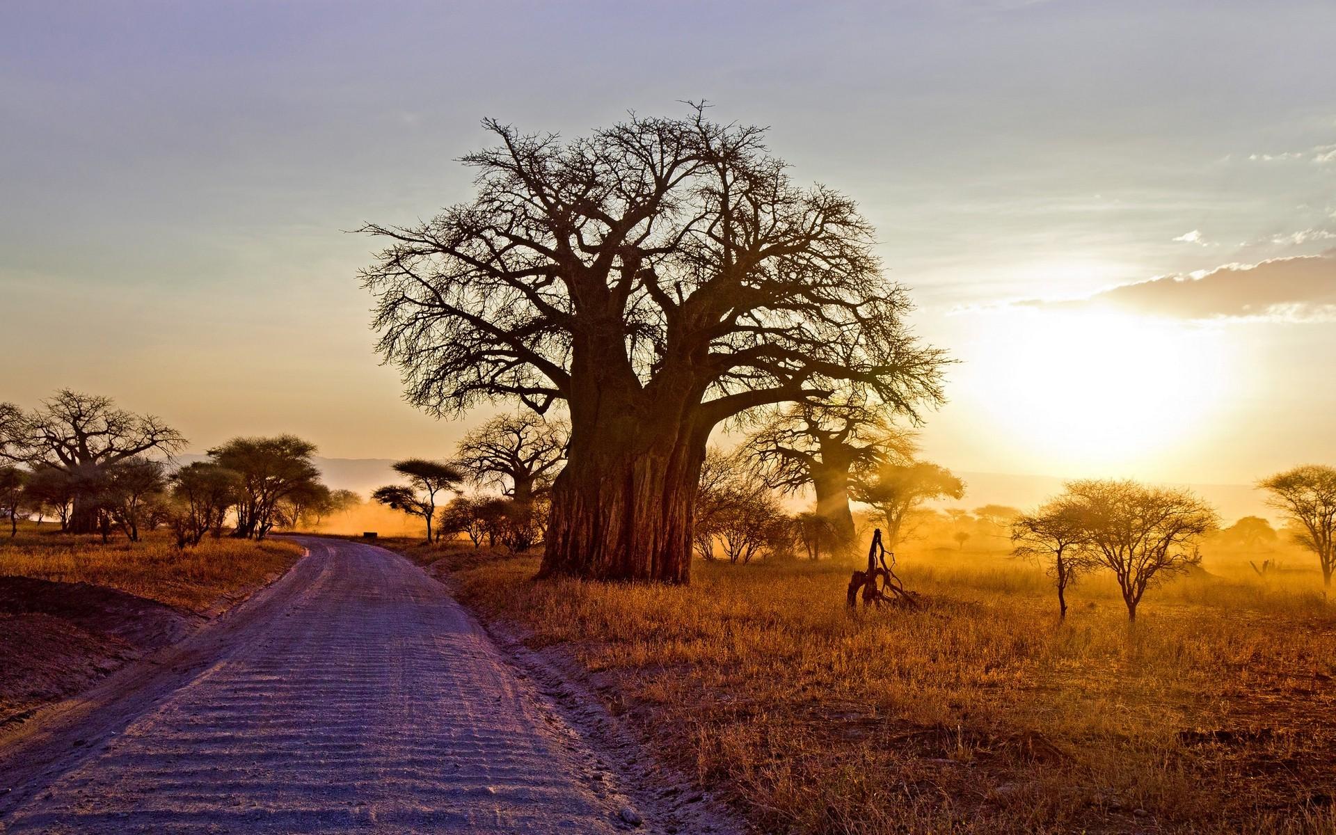 1920x1200 Px Africa Baobab Trees Dirt Road Dry Grass Landscape Nature Shrubs Sunlight Sunset Tanzania