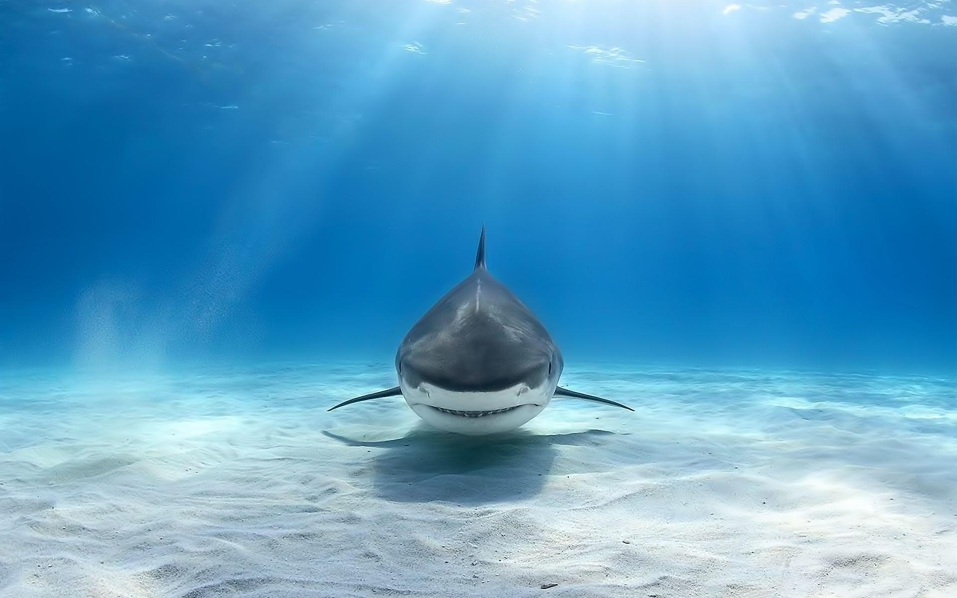 Wallpaper 1920x1200 Px Animals Great White Shark Shark