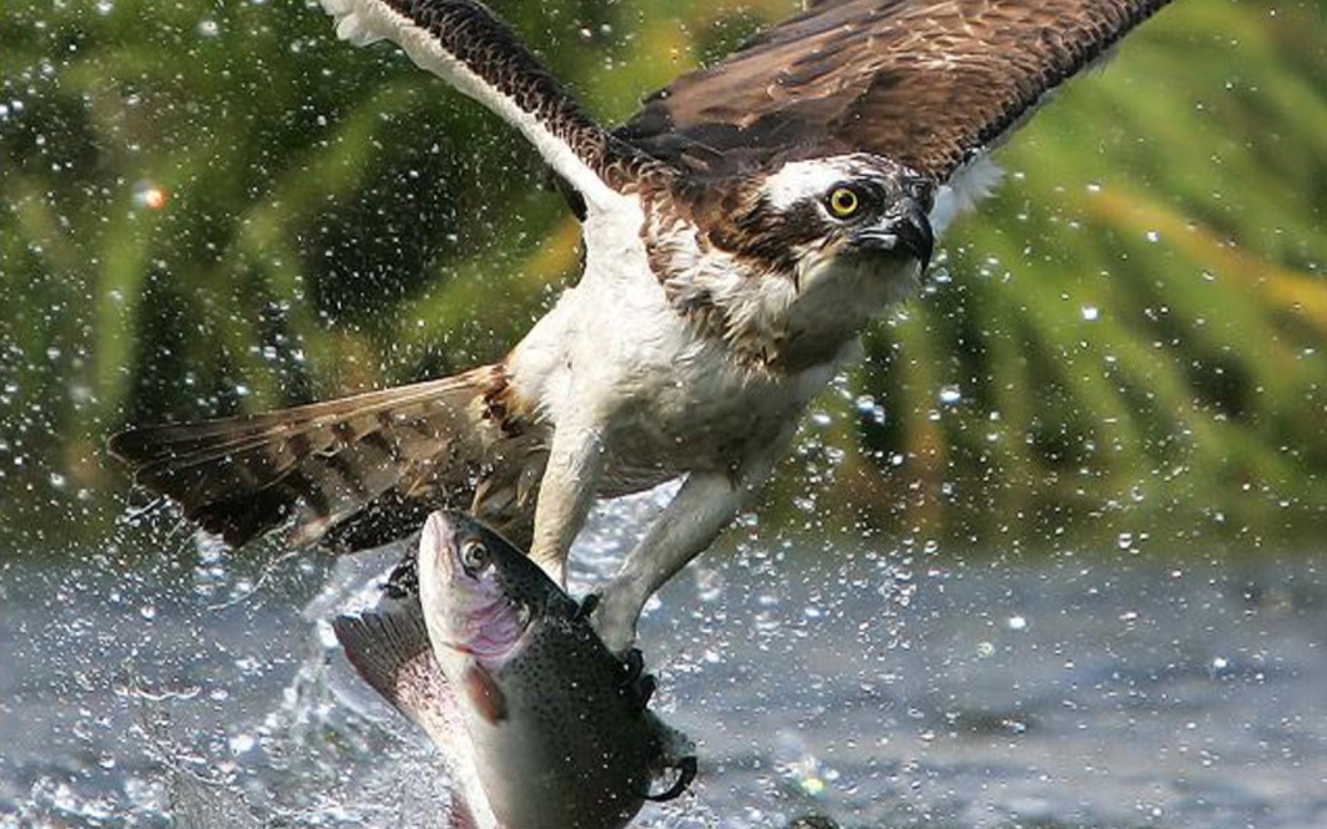 Unduh 46 Foto Gambar Burung Elang Menangkap Ikan  Terbaru Gratis