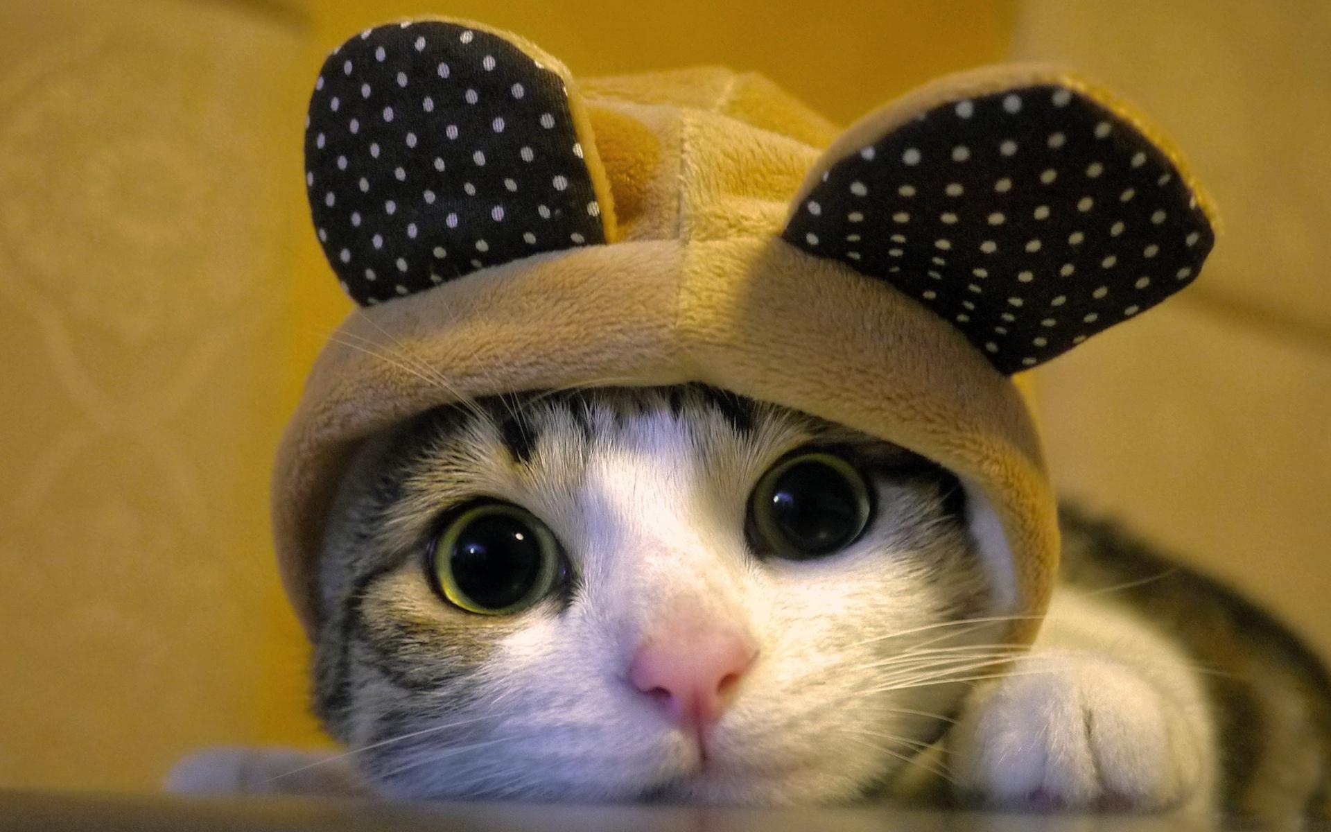 Wallpaper Px Hewan Kucing Kostum Imut