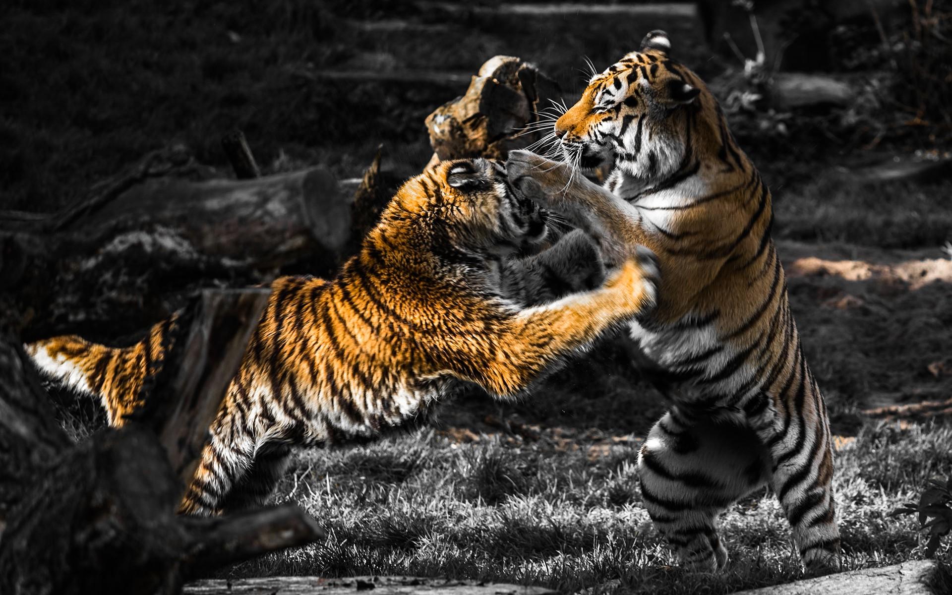 px hewan perkelahian mewarnai selektif harimau