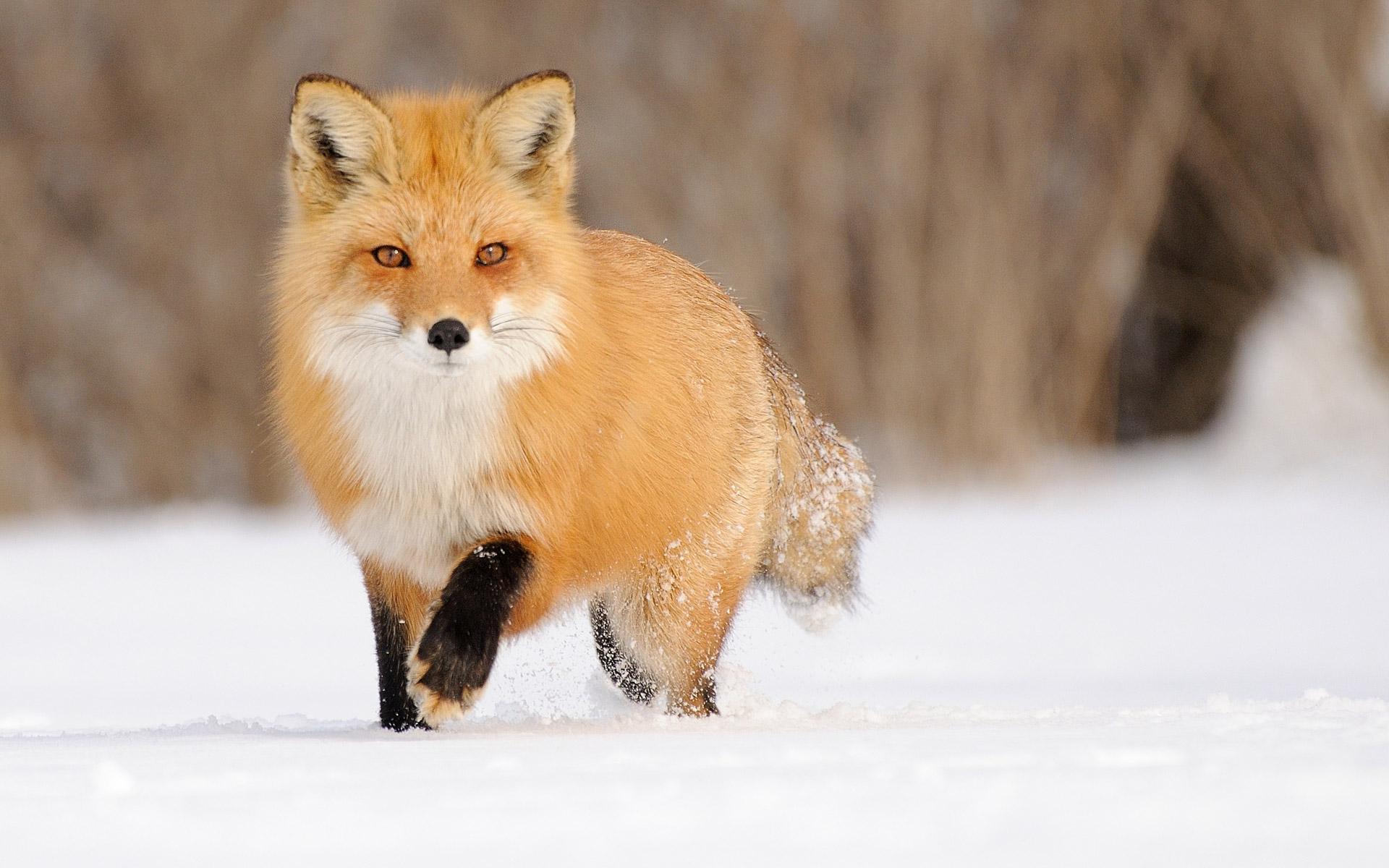 1920x1200 Px Animals Fox Landscape Snow