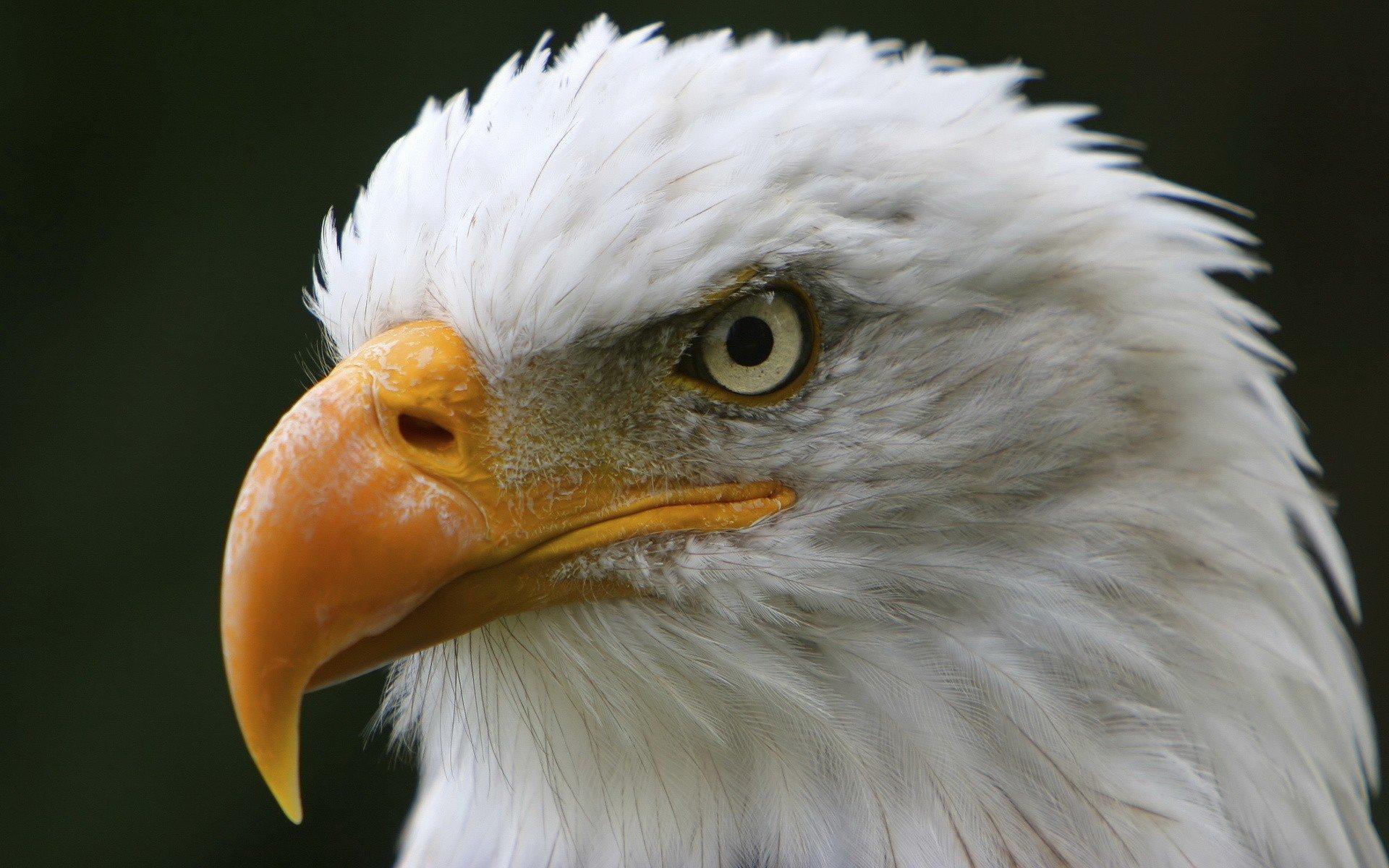 белый орел фото животные организациях