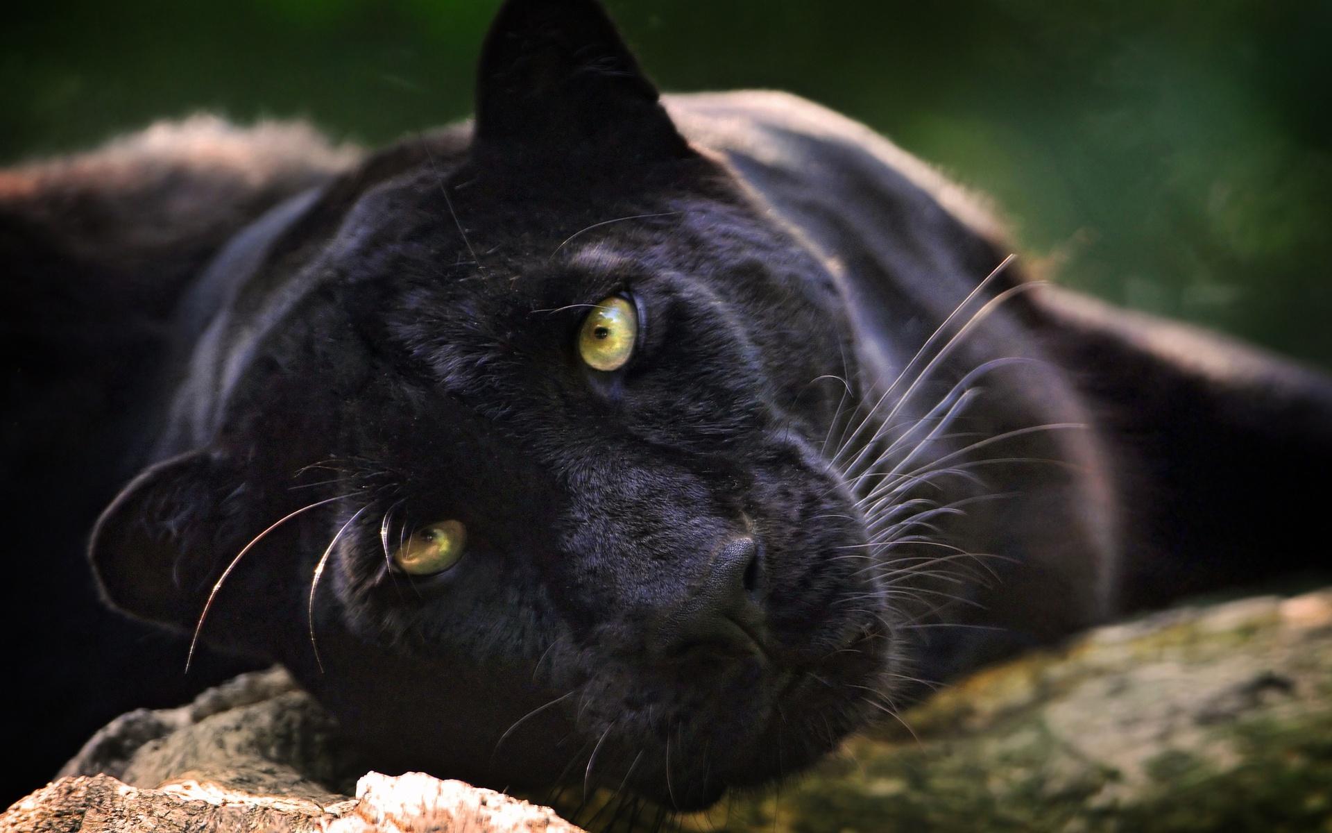 светло-сиреневые пума черная фото животное сегодня