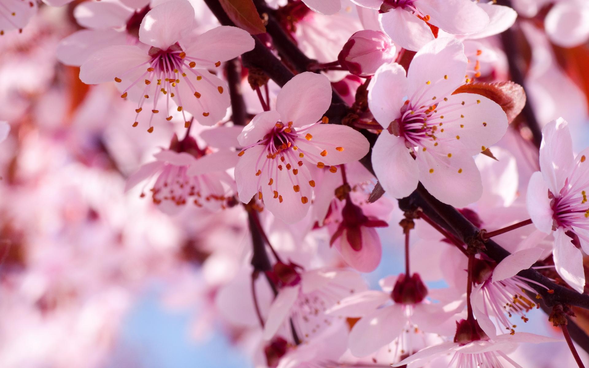 соблюдении цветы вишни фото картинки простая быстрая заготовка