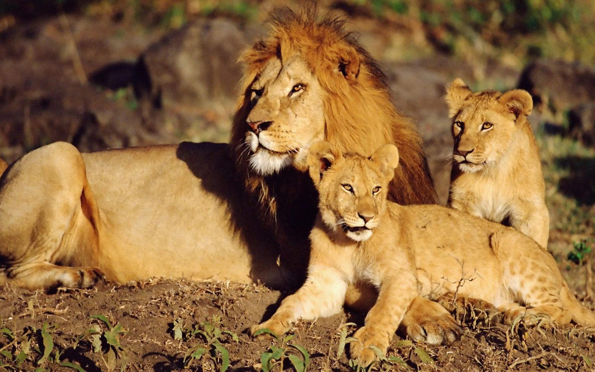 картинки про львов в африке площадь