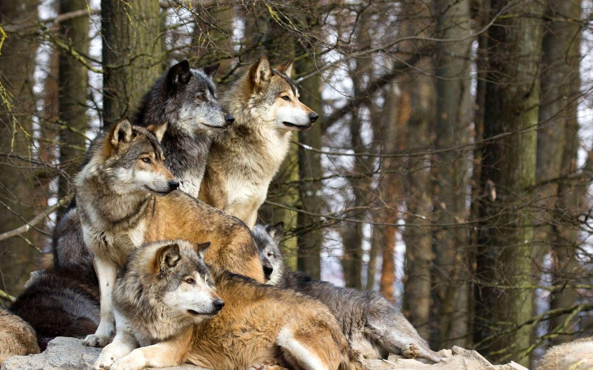 Животные картинки волков