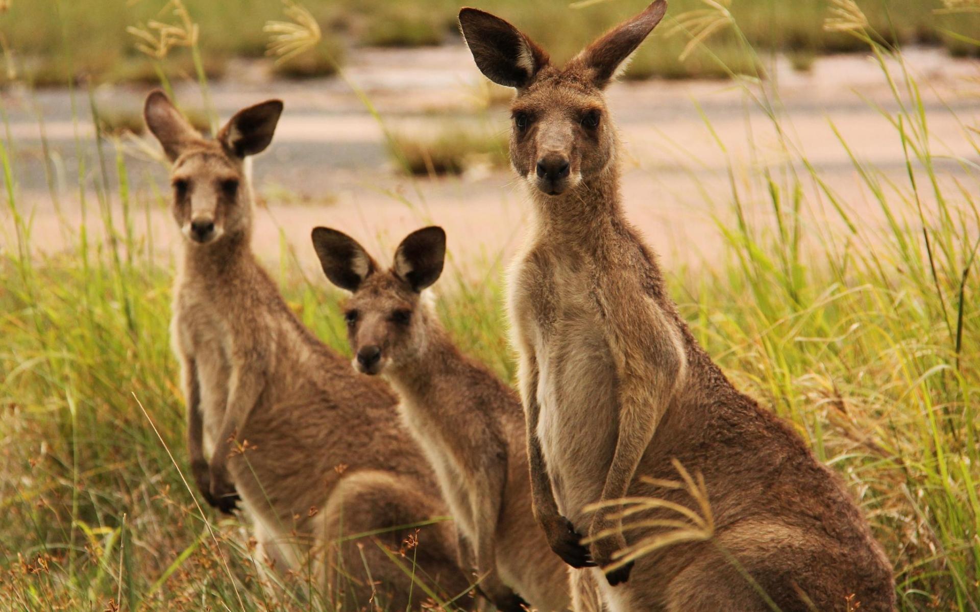 Для, кенгуру в картинках