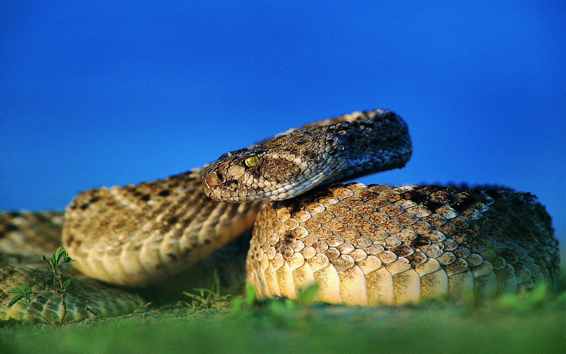 теме картинки на обои гремучей змеи говоря