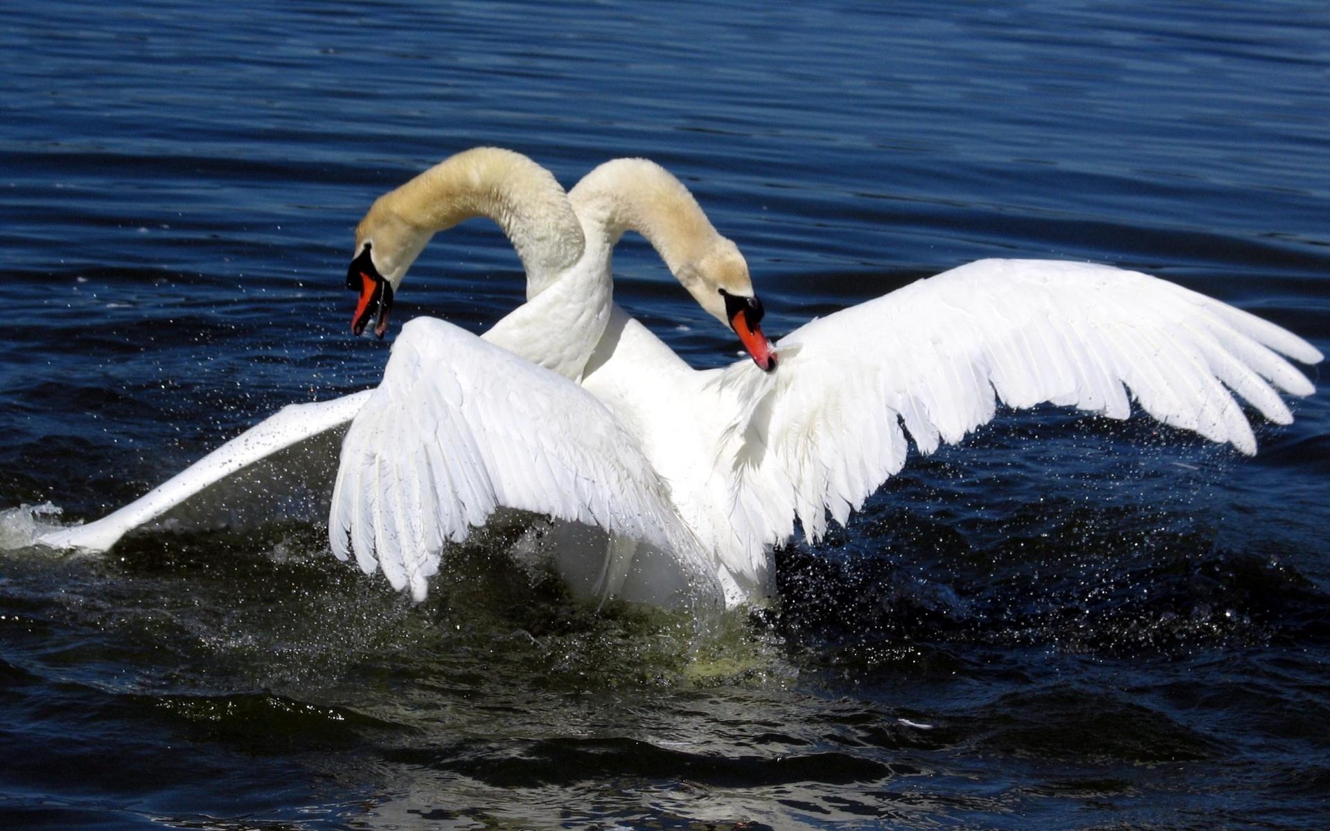 начальных этапах фото открытки лебедей пляж, красивая