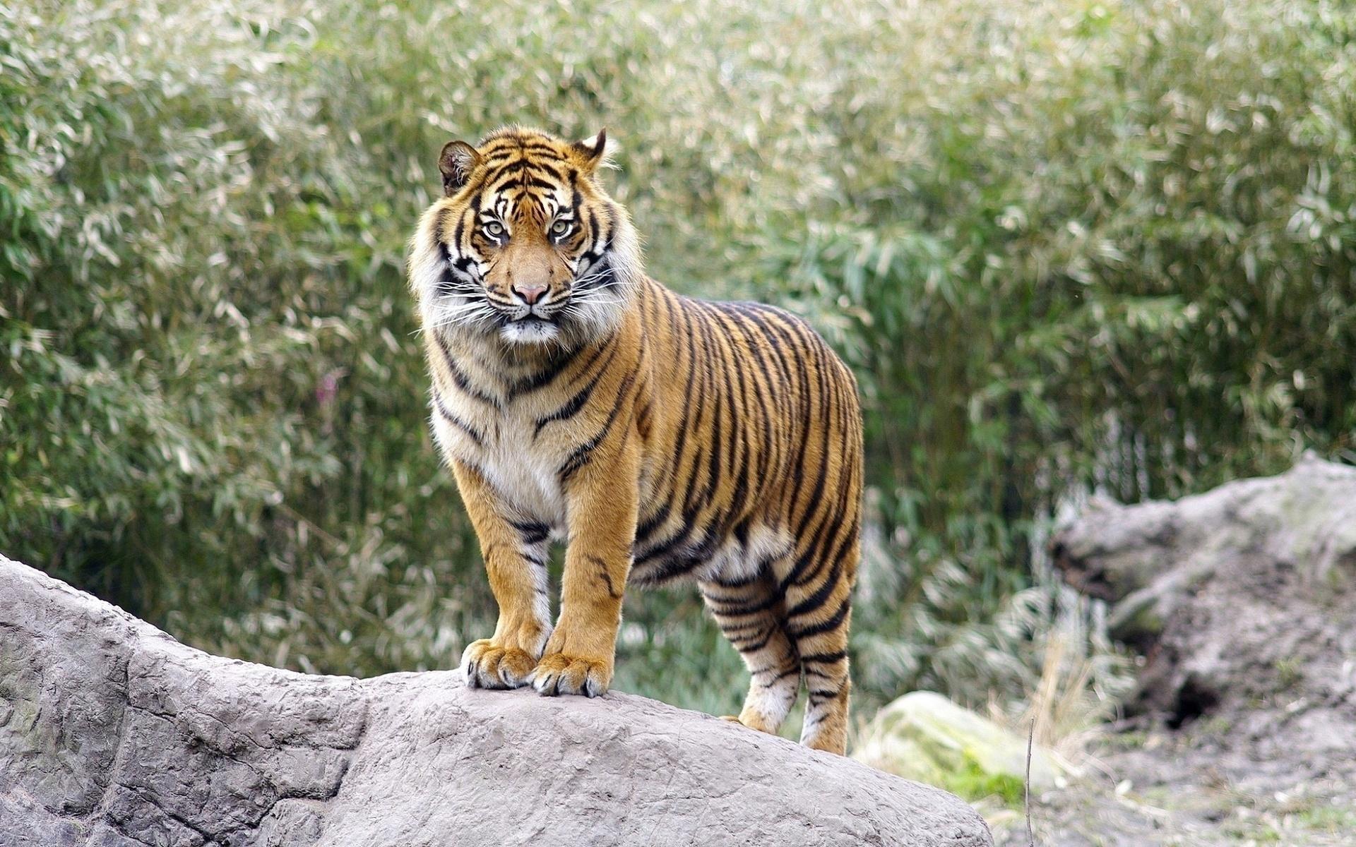 путешественники тигр картинки фотографии всегда была блондинкой