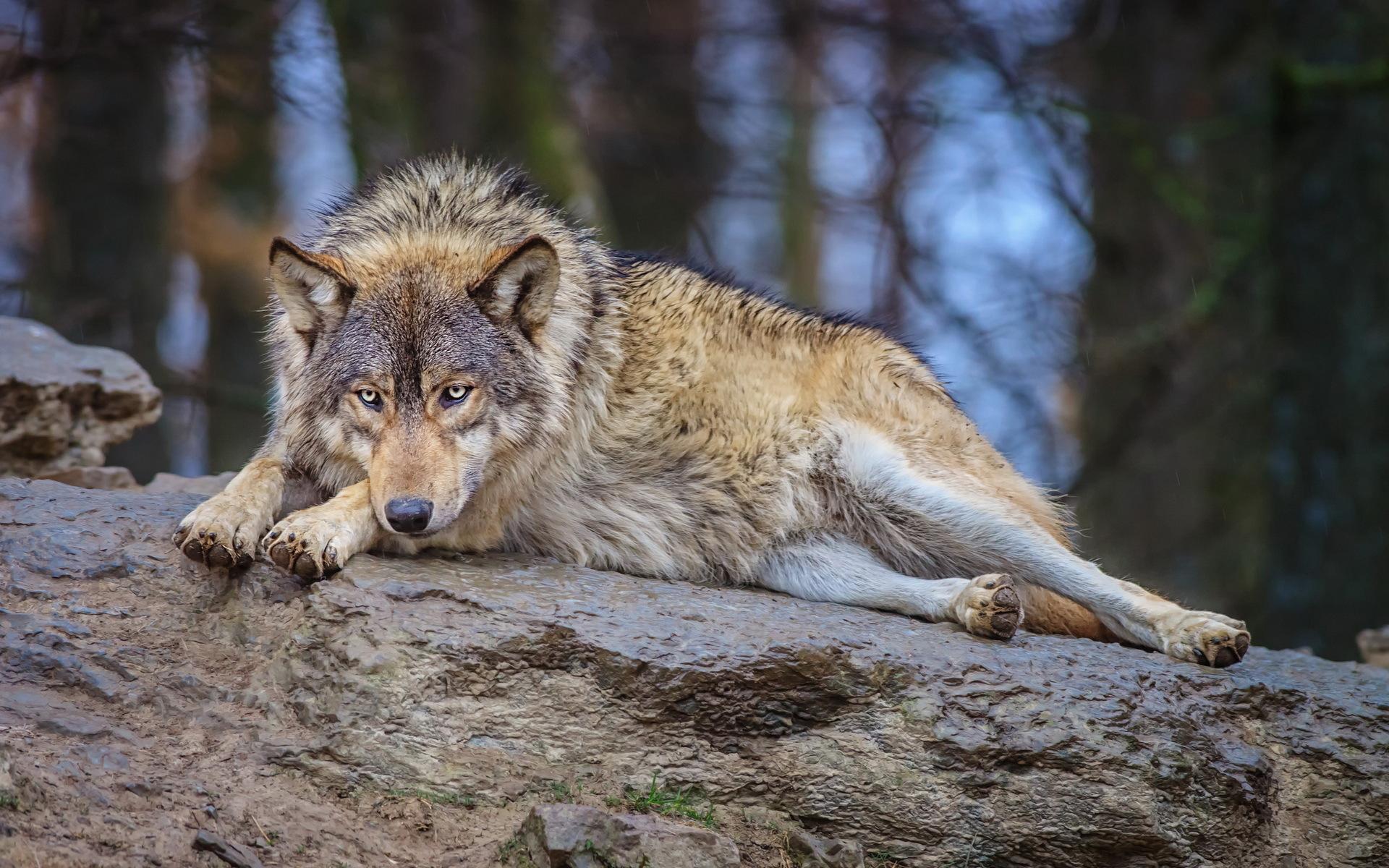 картинка лежащего волка больше красочных