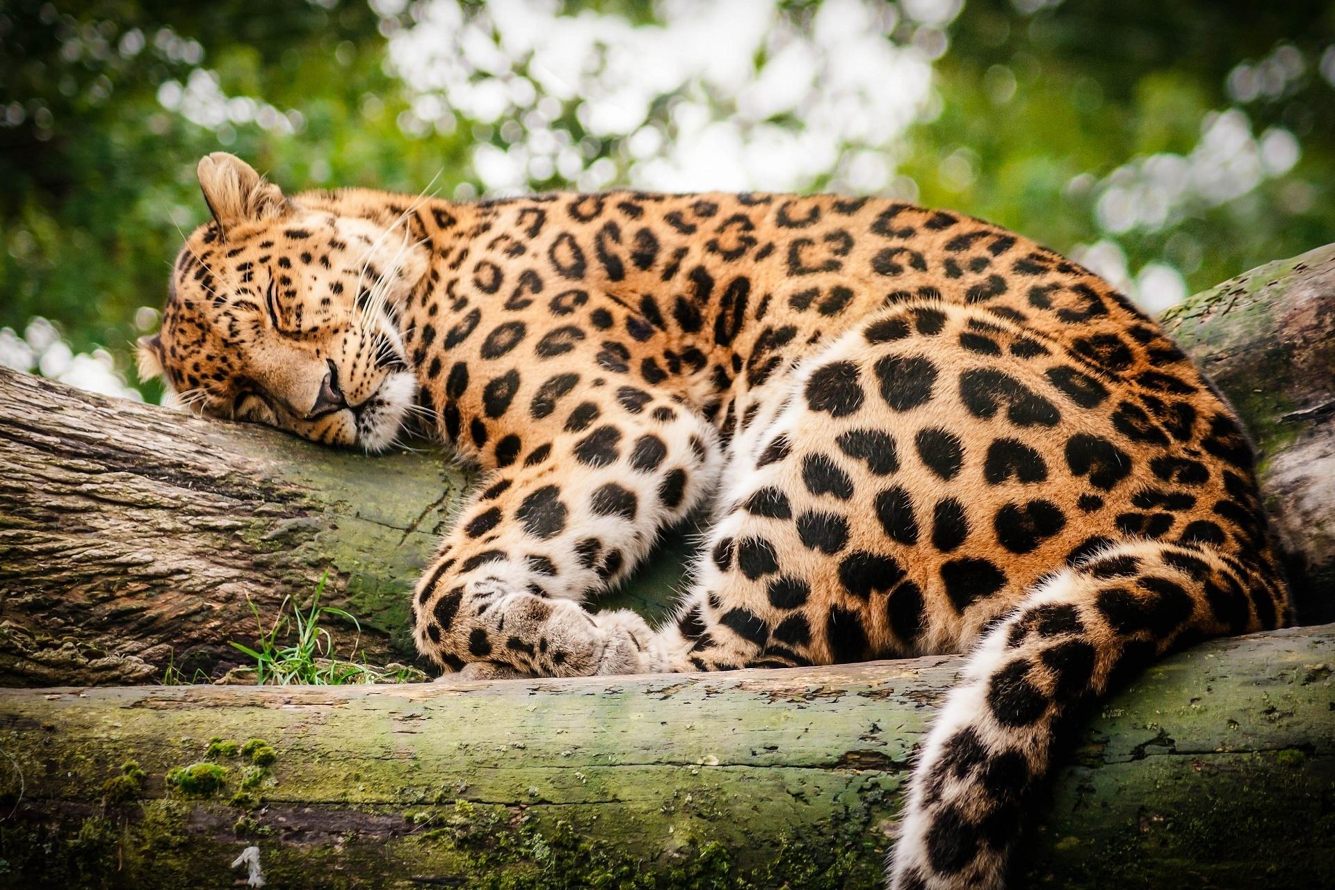 Картинки с лежащим ягуаром