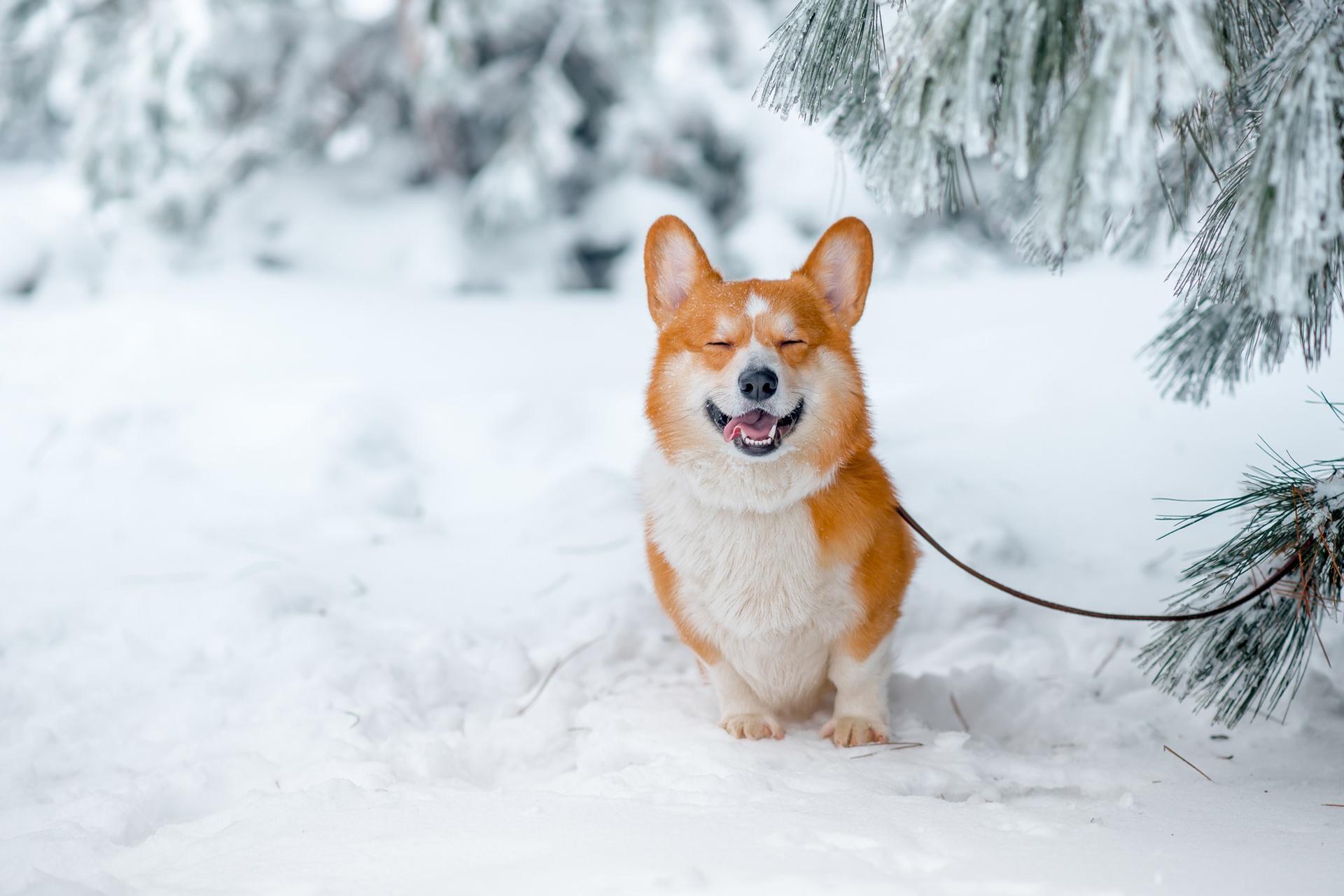 デスクトップ壁紙 19x1281 Px 動物 コーギー 犬 自然 雪 19x1281 Goodfon デスクトップ壁紙 Wallhere