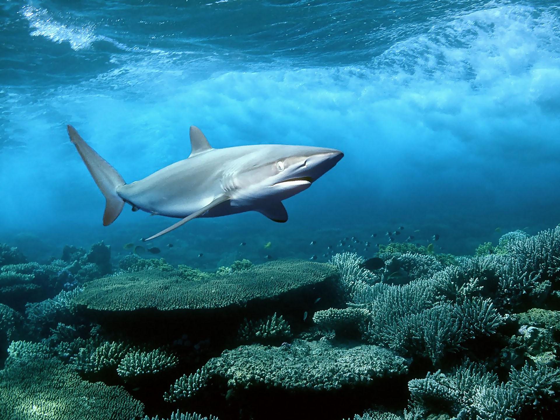 デスクトップ壁紙 1920x1440 Px 動物 自然 海洋 サメ 水中