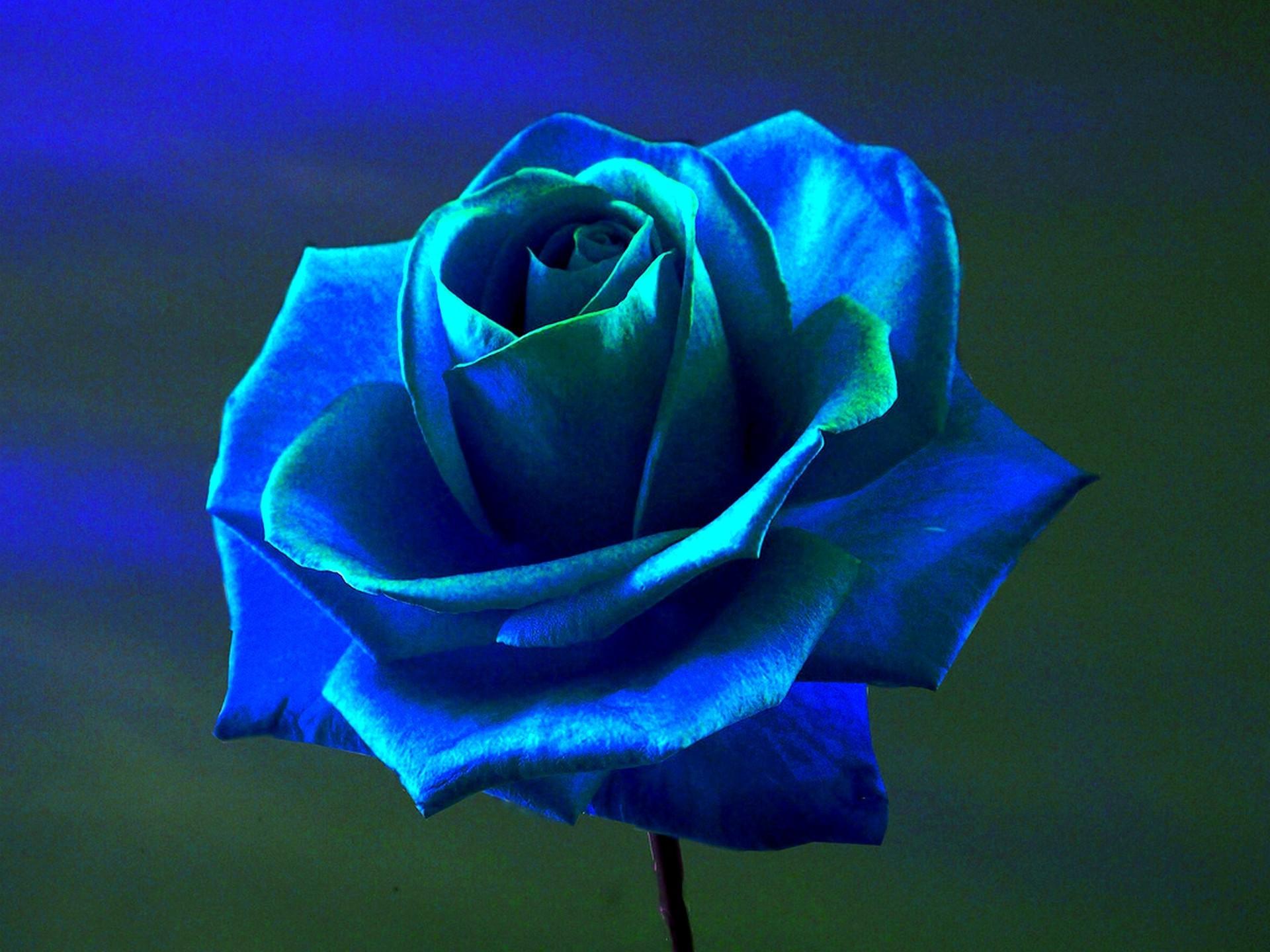 Wallpaper : 1920x1440 px, blue flowers, blue rose 1920x1440