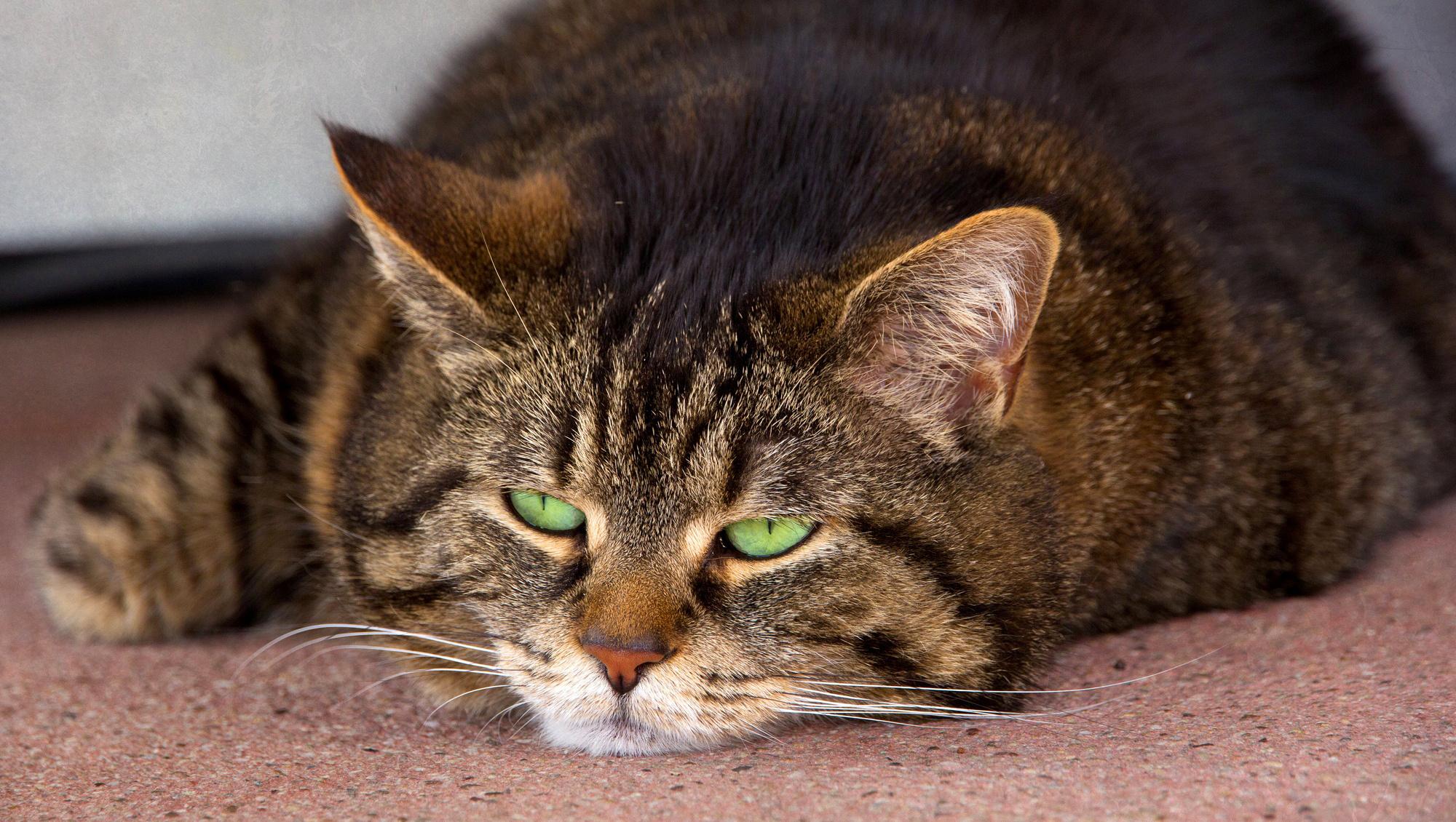 Картинки на рабочий стол домашние животные кошки использовать для