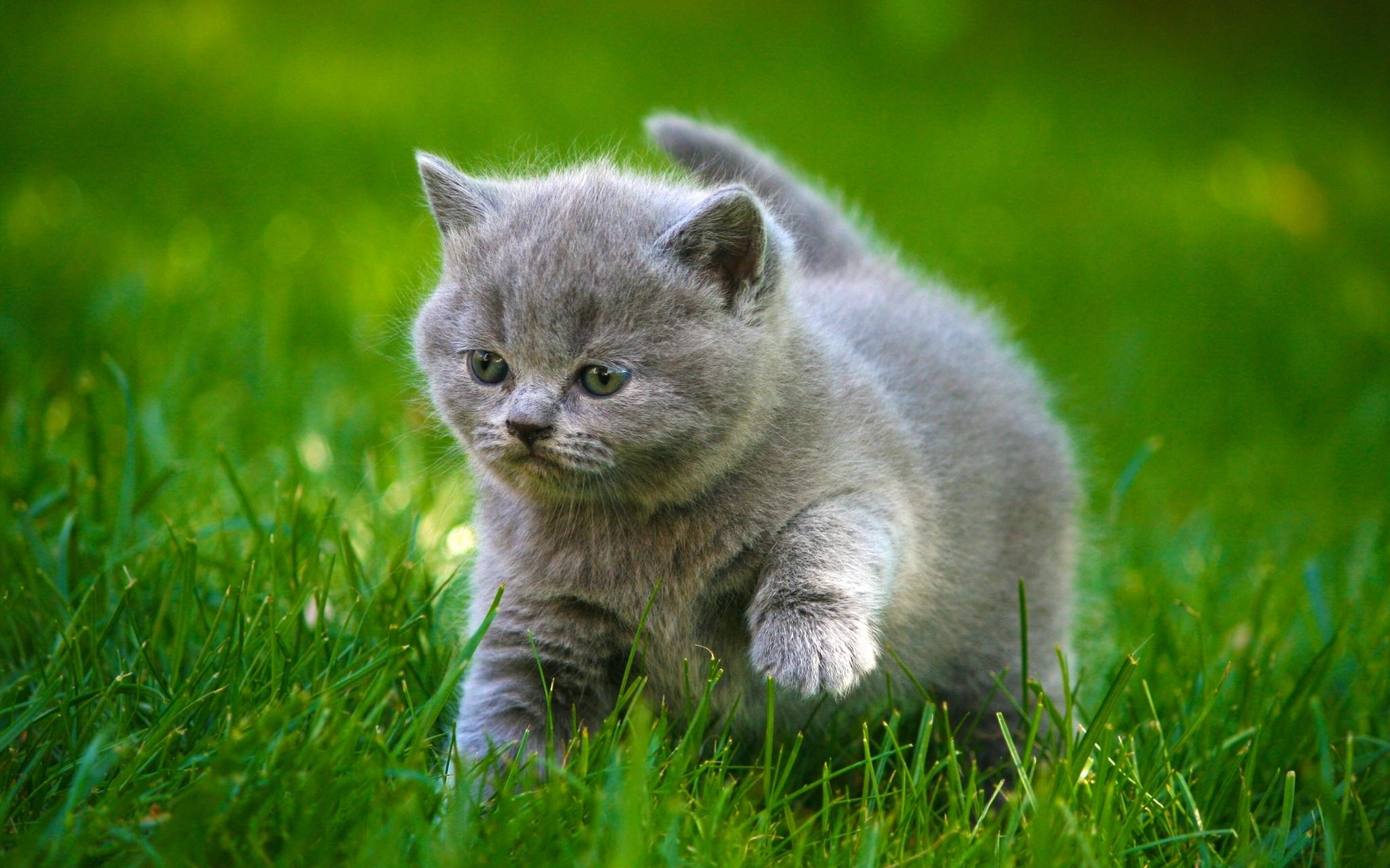 Wallpaper 2048x1280 Px Animals Baby Cat Cats Cute Fat Fluffy Grass Grey Kitten Kittens 2048x1280 4kwallpaper 1913313 Hd Wallpapers Wallhere