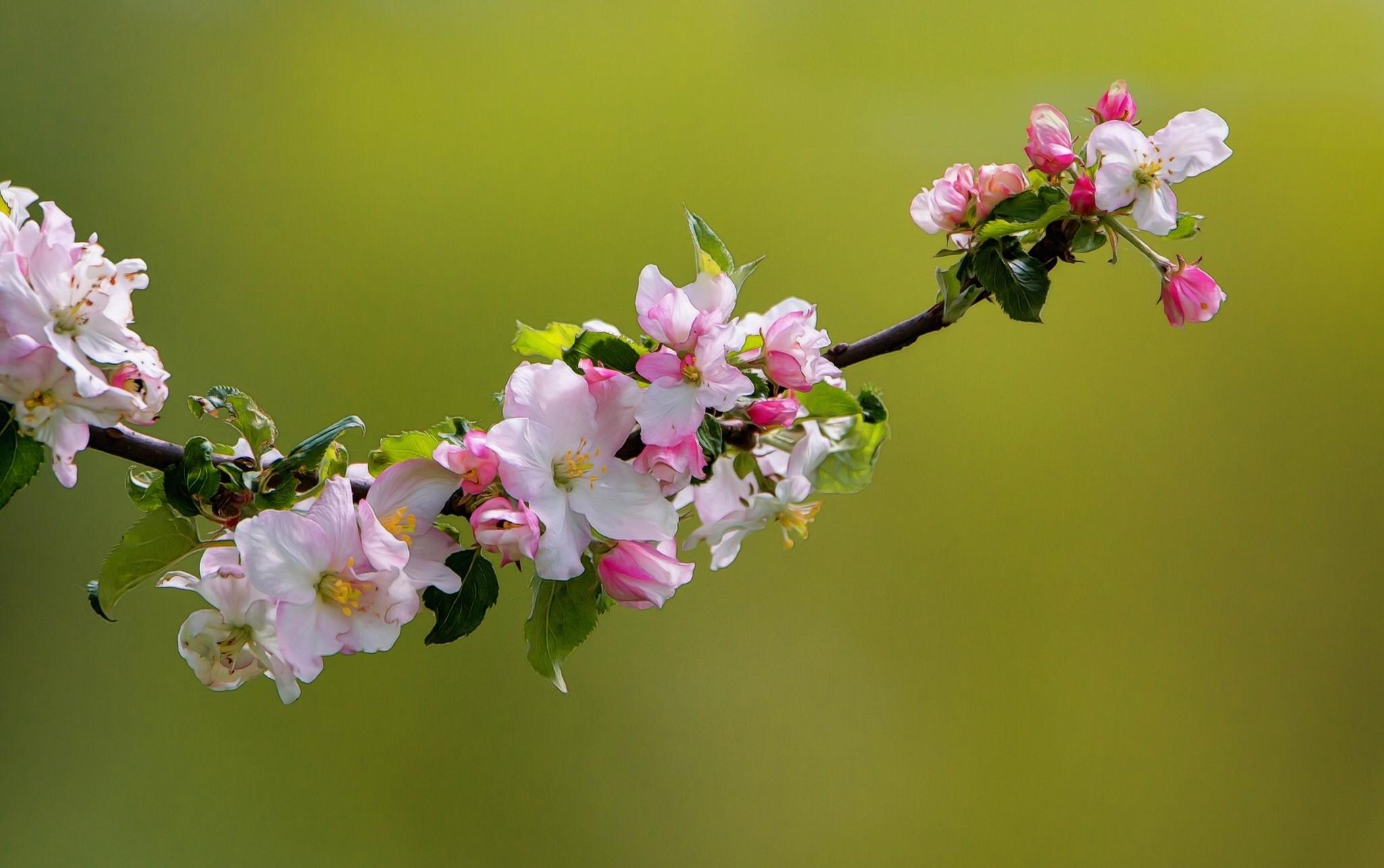 обои для рабочего стола цветущие яблони № 239692  скачать
