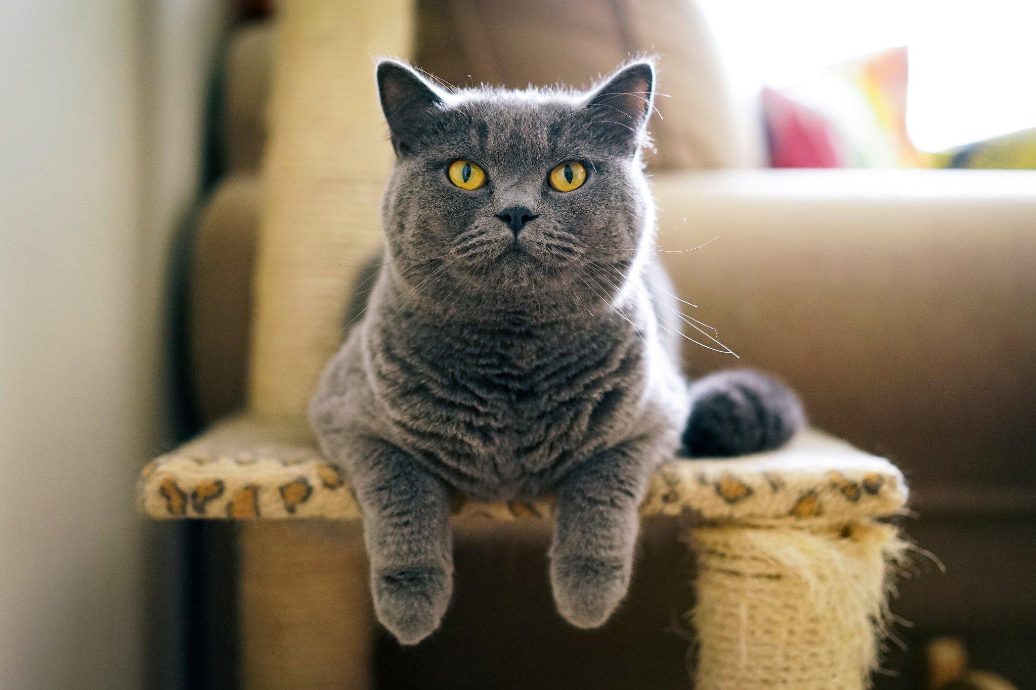номеров картинки британских котов на телефон описание фото