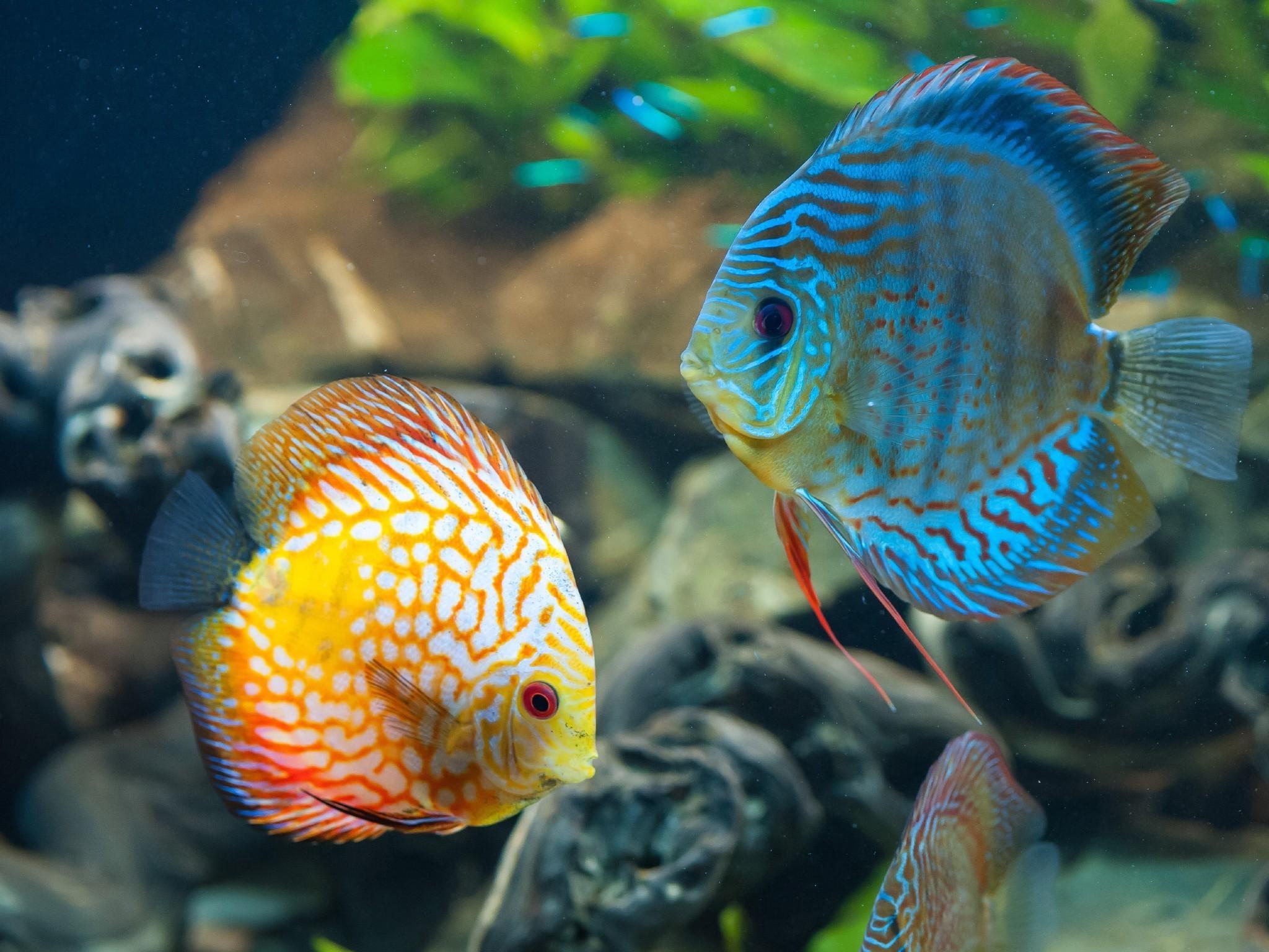 Sfondi 2048x1536 px animali discus pesce pesce for Pesce discus