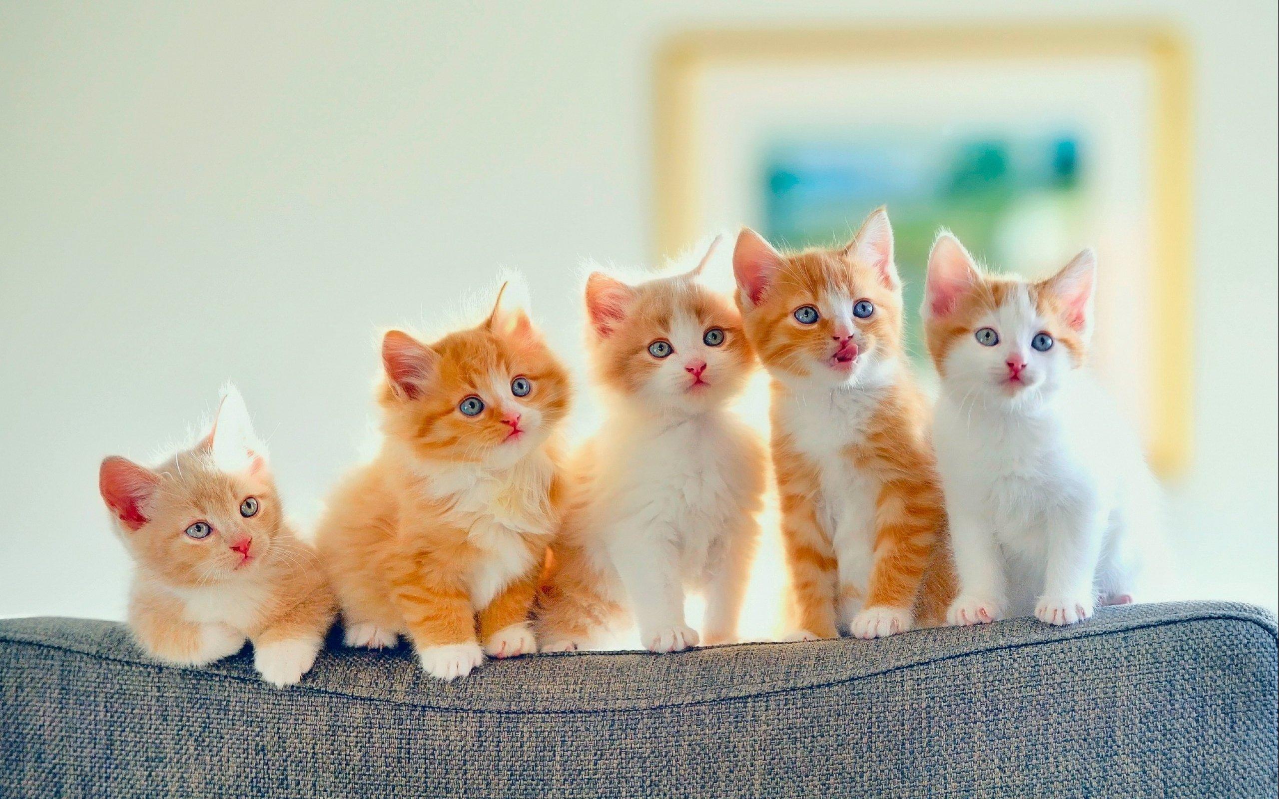 Wallpaper 2560x1600 Px Baby Cat Cats Cute Kitten Kittens 2560x1600 Coolwallpapers 1907143 Hd Wallpapers Wallhere