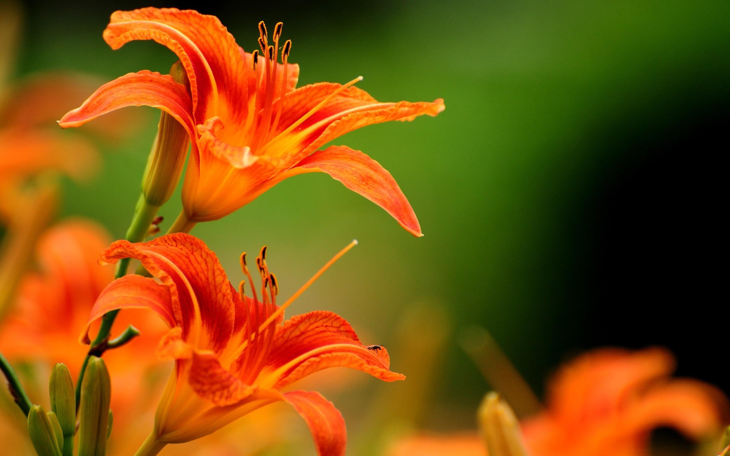 Wallpaper 2560x1600 Px Lilies Orange Flowers 2560x1600 Goodfon