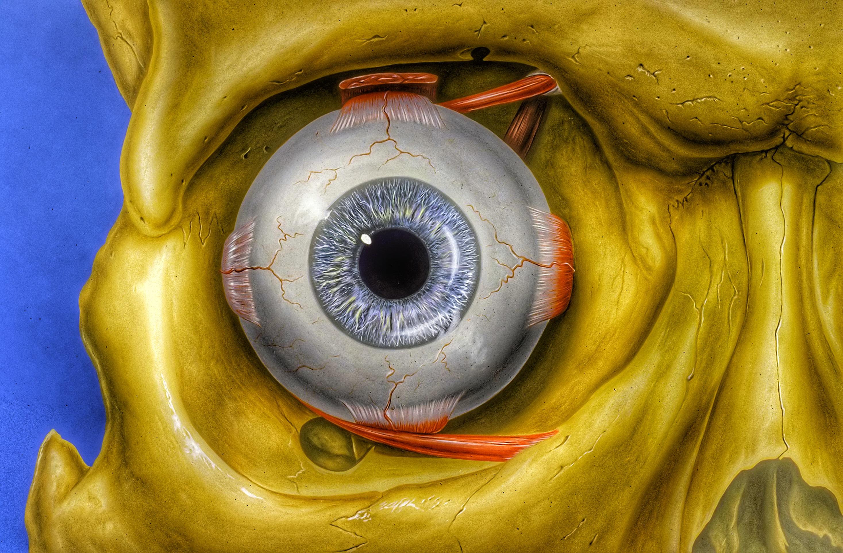 Wallpaper : 2934x1924 px, Eye Orbit Anatomy 2934x1924 ...