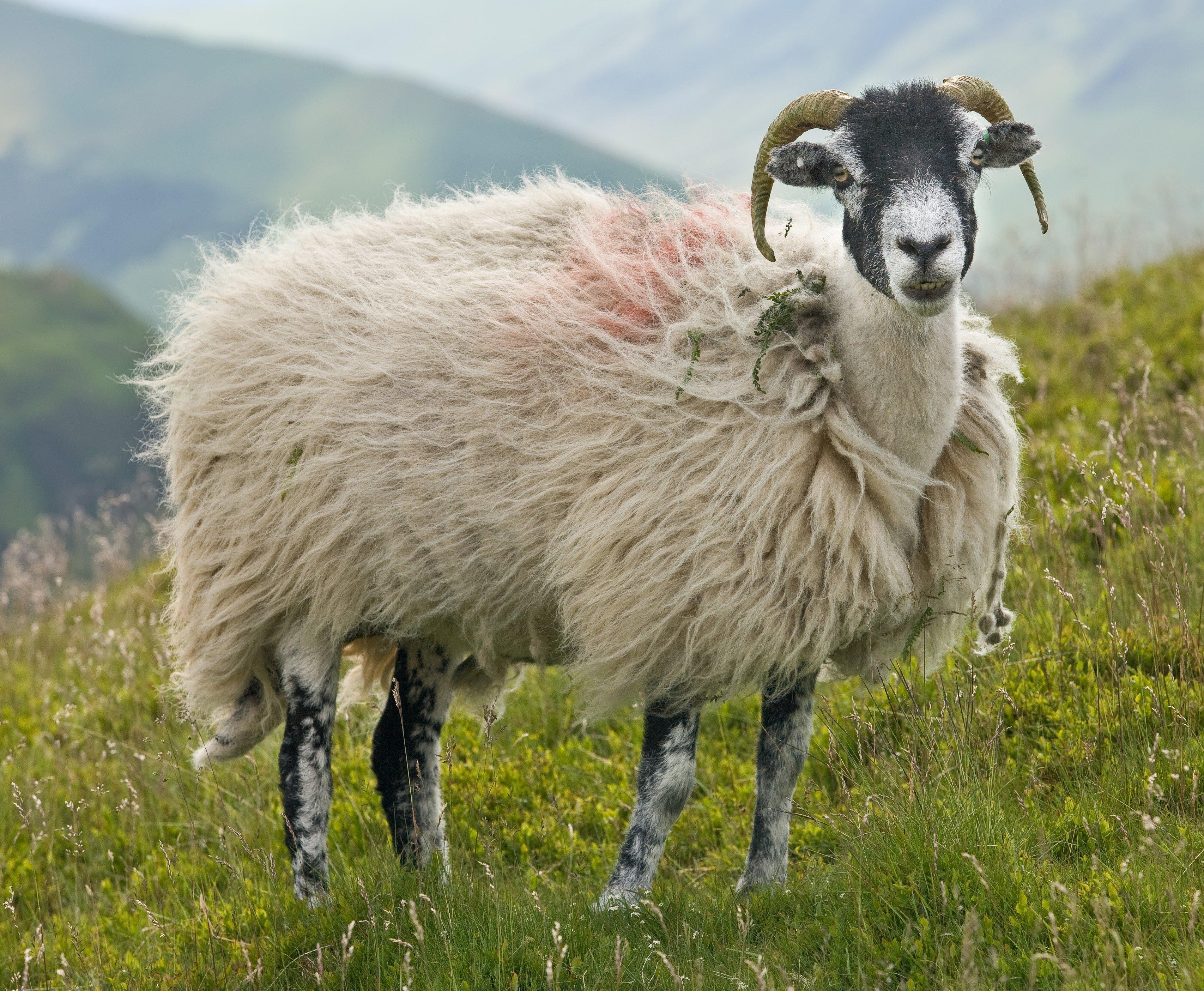 женщин папиллома фото барана и овцы элегантный изысканный образ