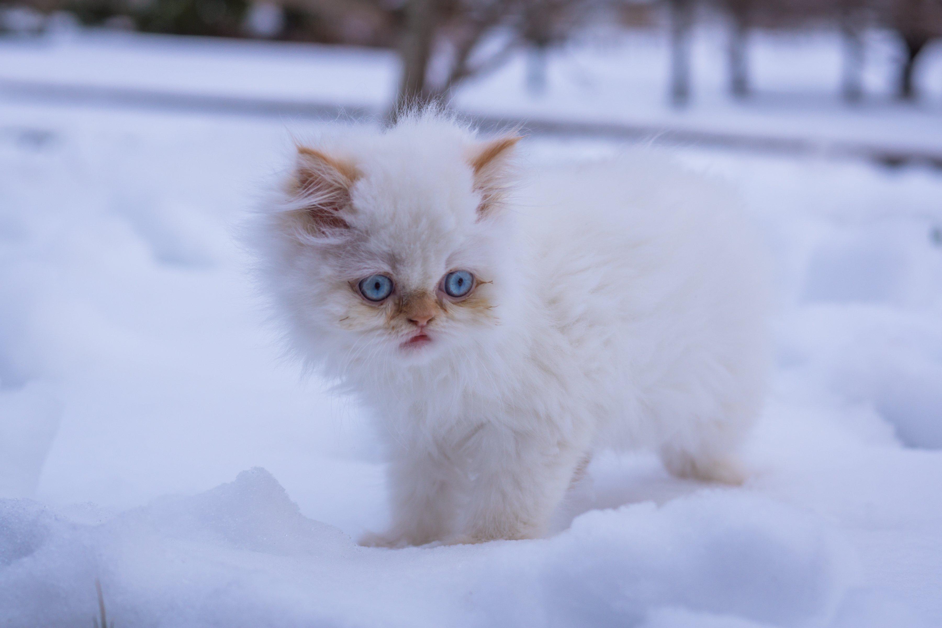 белые пушистые котики фото стоит помнить