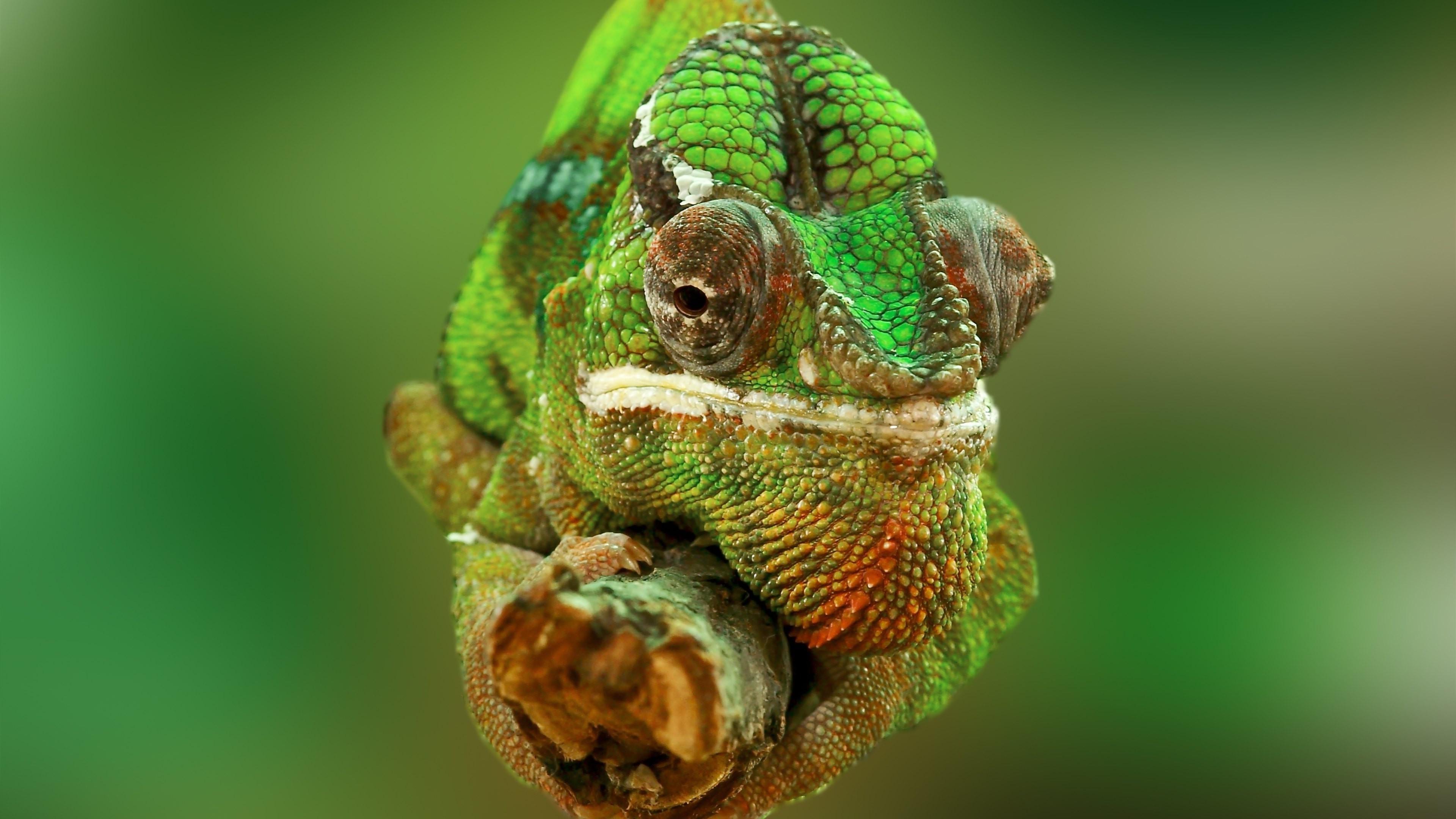 デスクトップ壁紙 3840x2160 Px 動物 カメレオン 爬虫類